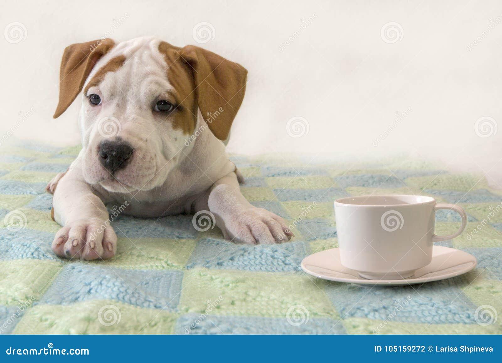 Netter Welpe American Staffordshire Terrier mit einem Tasse Kaffee/Tee lokalisiert auf weißem Hintergrund