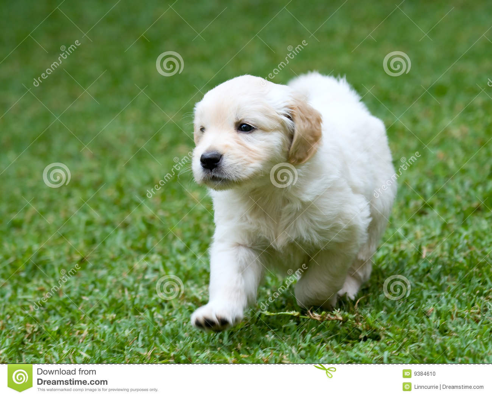 Netter Welpe des goldenen Apportierhunds