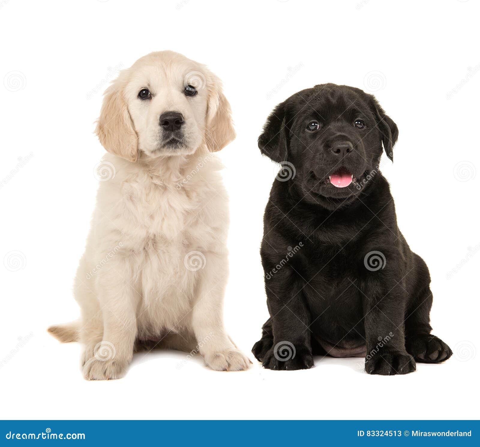 Nettes Blondes Golden Retriever Und Schwarzer Labrador Retriever