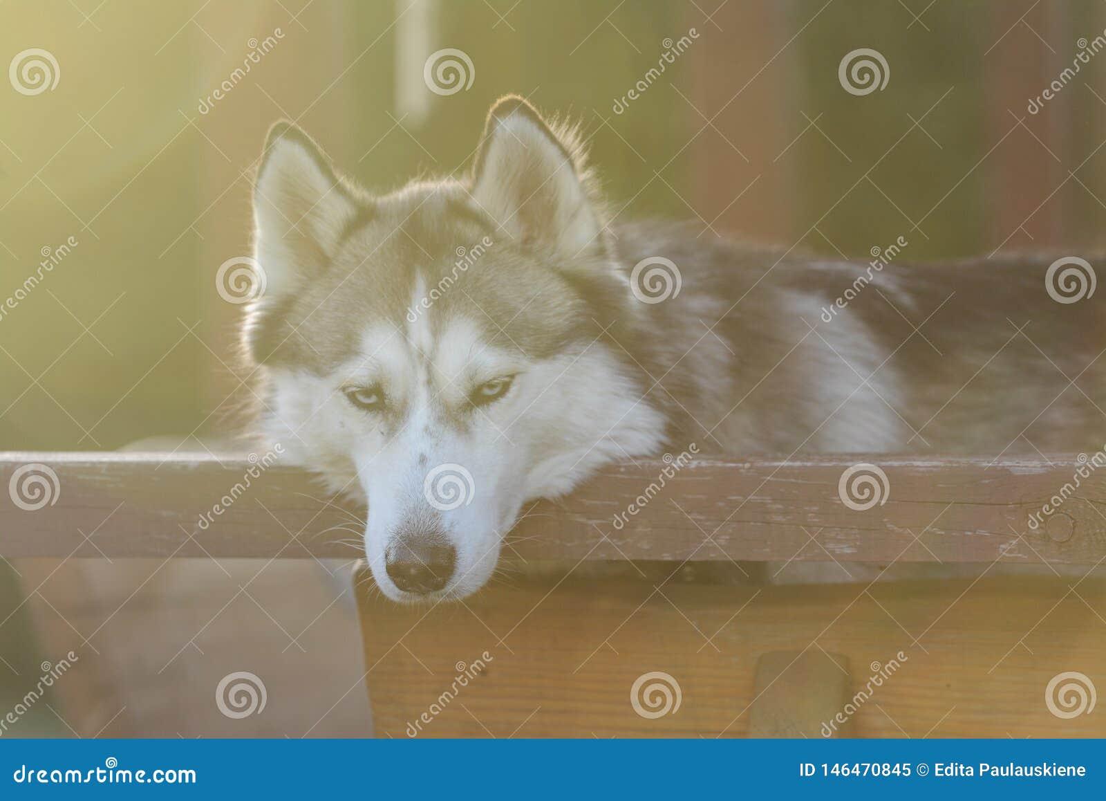 Nettes Freien des sibirischen Huskys, Hinterhof, summerhouse, goldene Stunde
