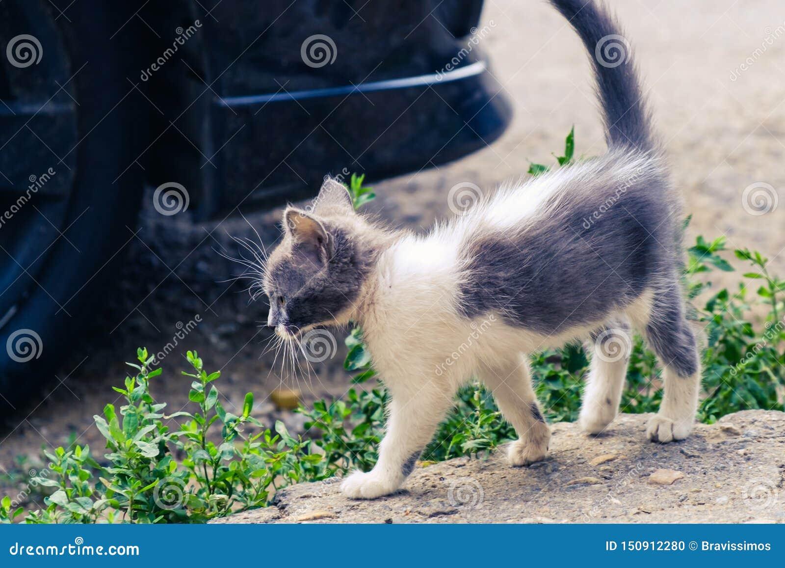 Nettes Haustier des K?tzchenkatzen-Umherirrenders entzückendes schönes