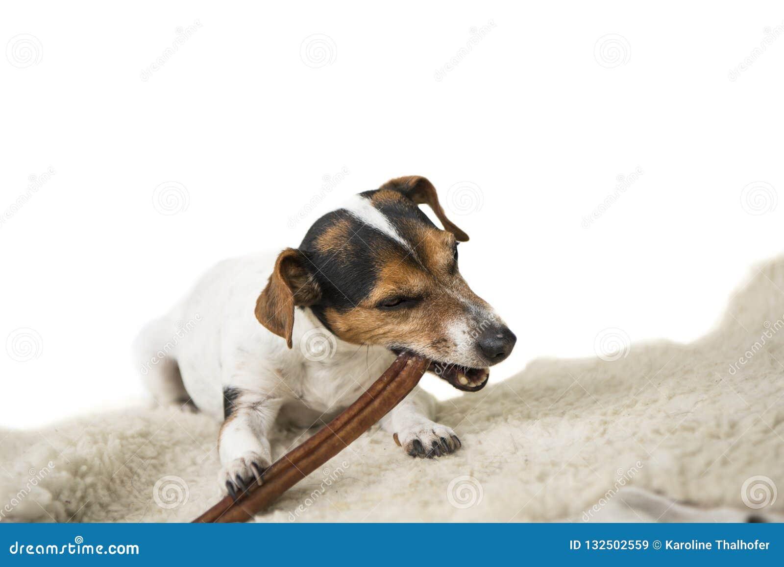 Nettes Jack Russell Terrier-Hündchen kaut