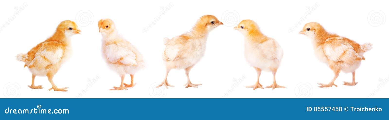 Nettes kleines Huhn auf weißem Hintergrund