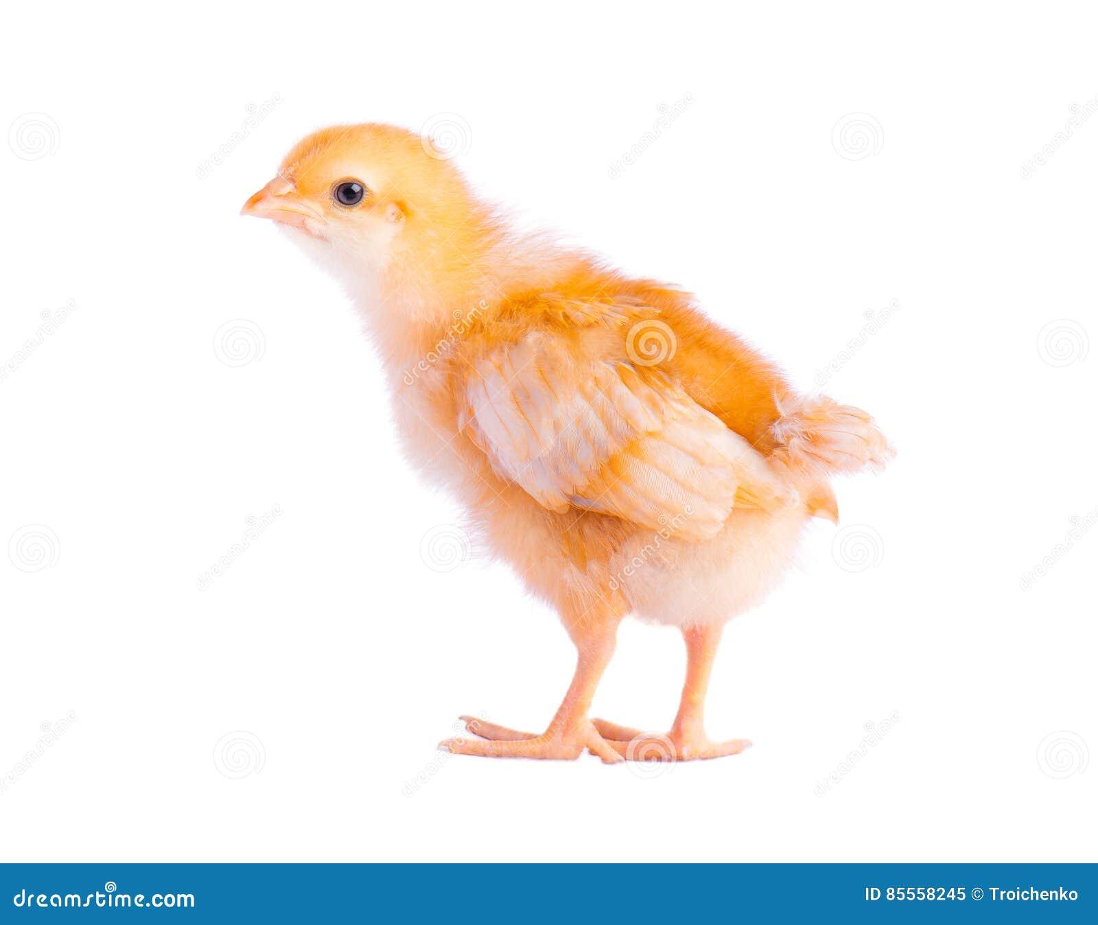 Nettes kleines Huhn getrennt auf weißem Hintergrund