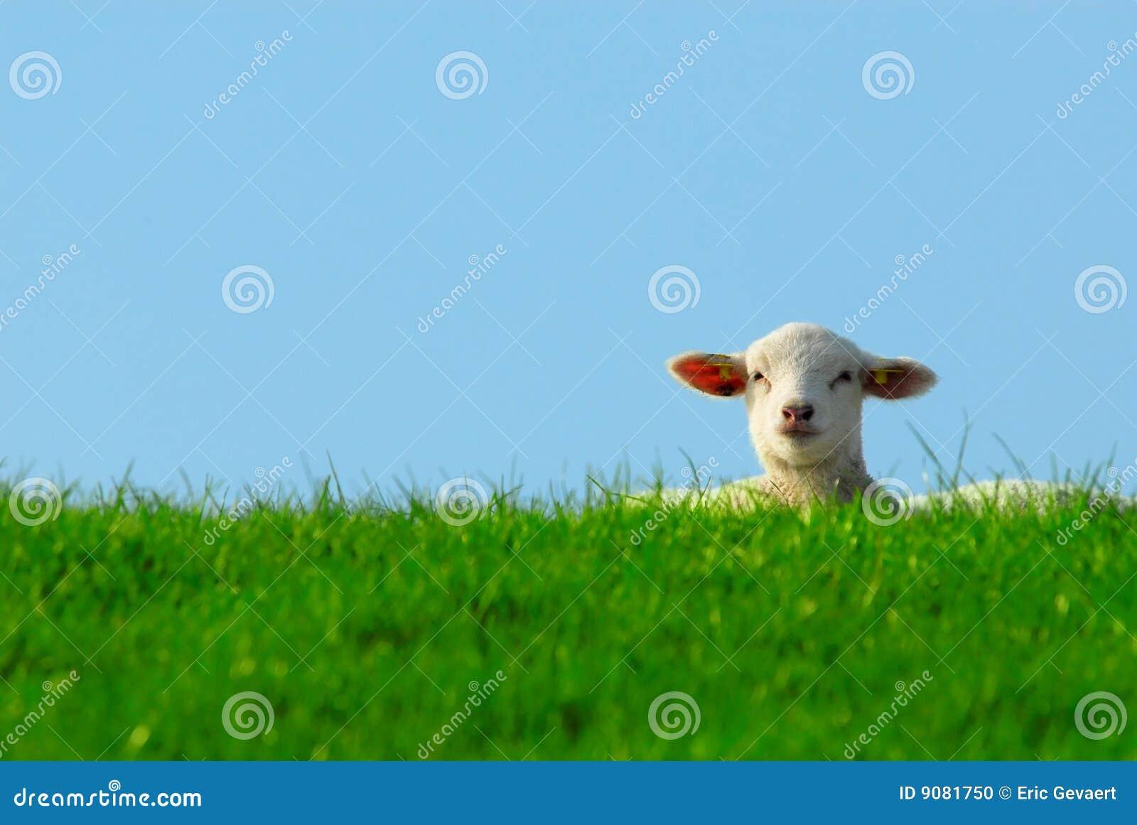 Nettes Lamm im Frühjahr