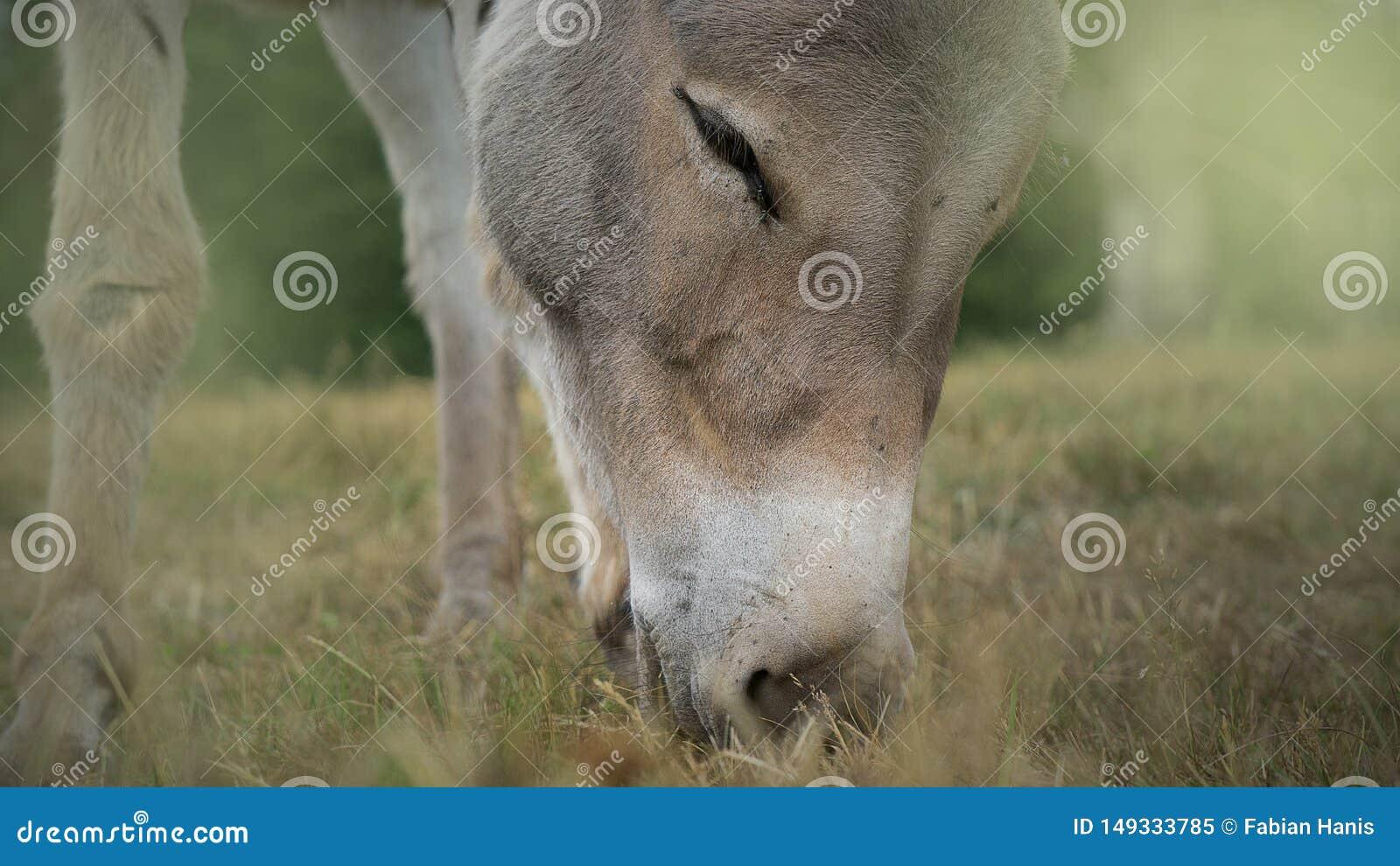 Nettes Pferd, das gr?nes Gras, Hauptnahaufnahme isst