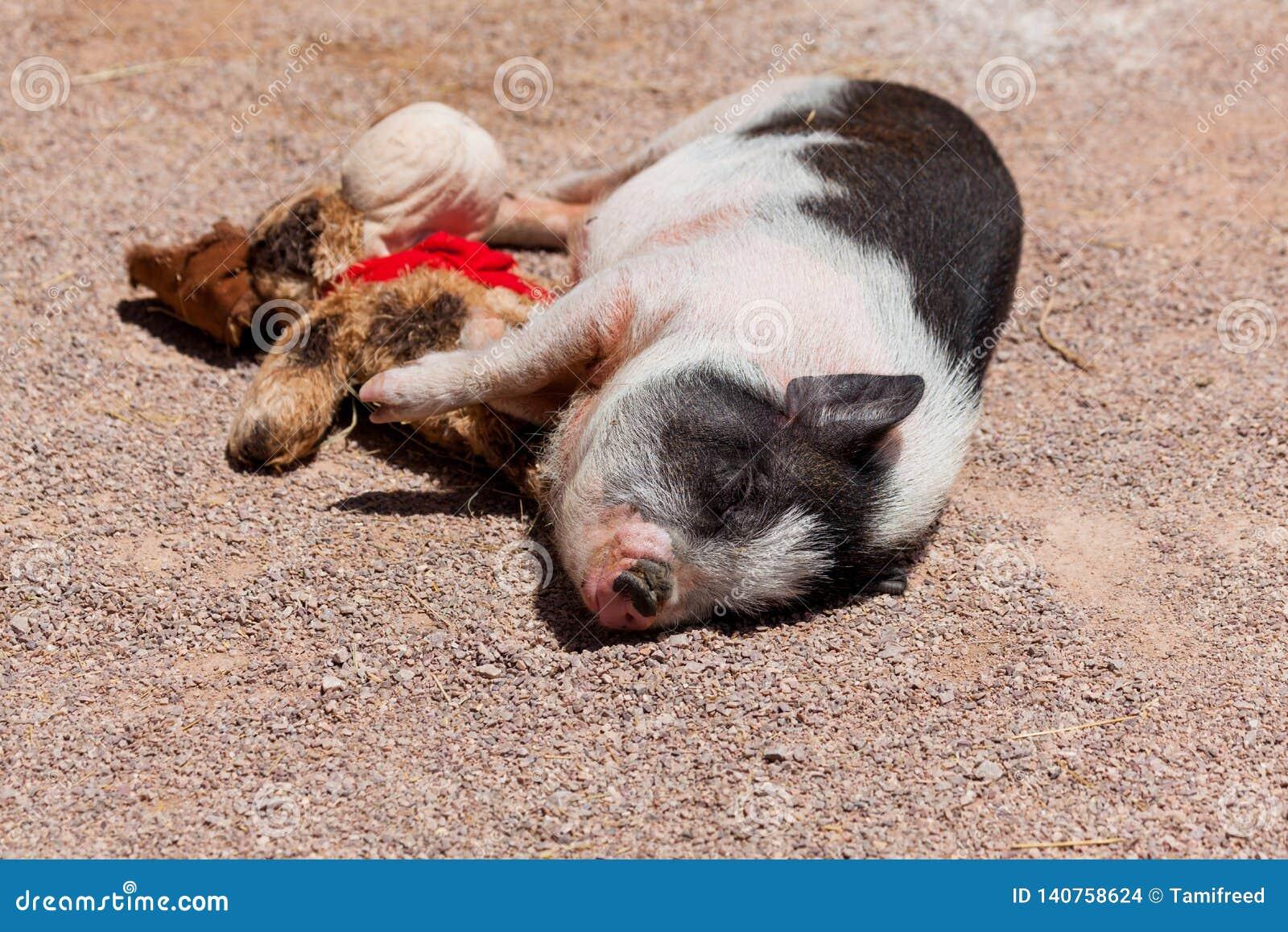 Nettes Schwein mit seinem Spielzeug