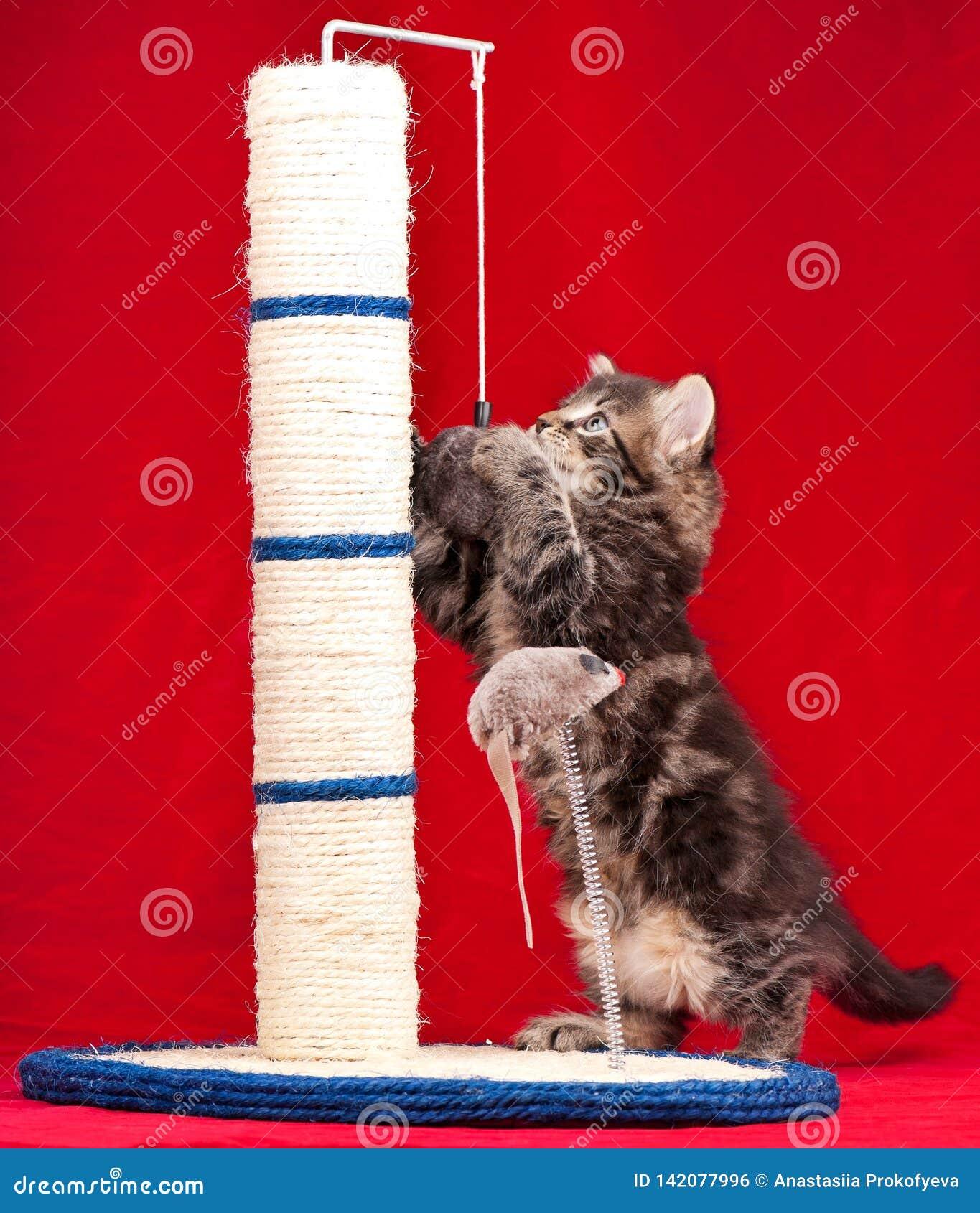Nettes sibirisches Kätzchen
