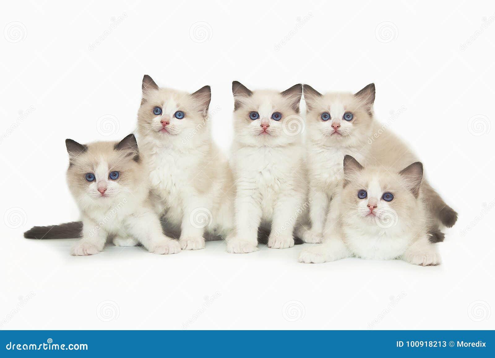 Nettes weißes ragdoll fünf Kätzchen auf weißem Hintergrund