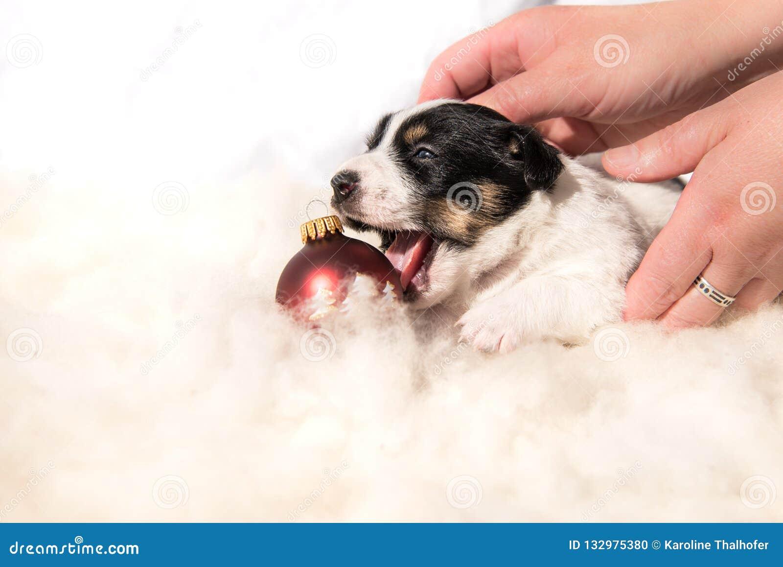 Nettes Weihnachtsneugeborenes Hündchen mit Ball