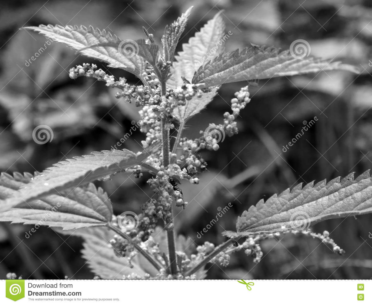 Nettle With Flowers On Black And White Image Stock Photo Image Of
