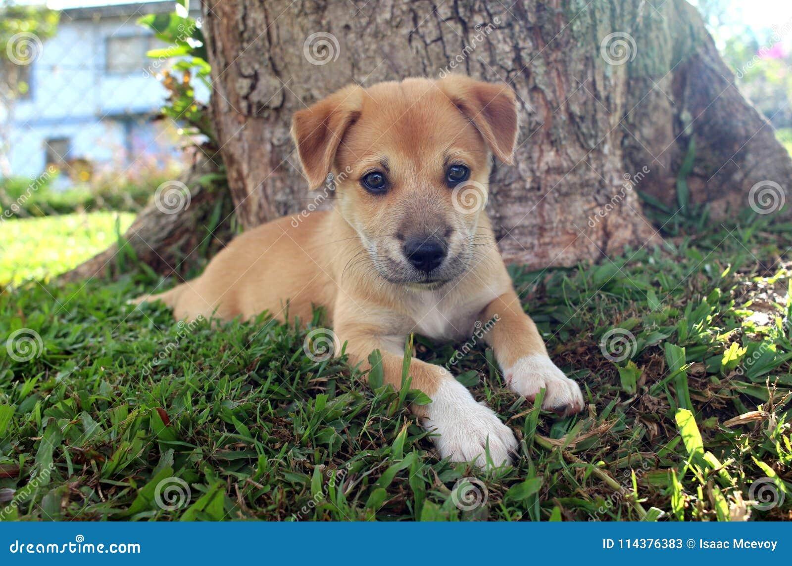Neu-Guinea Gesang-Hundewelpe durch Baum