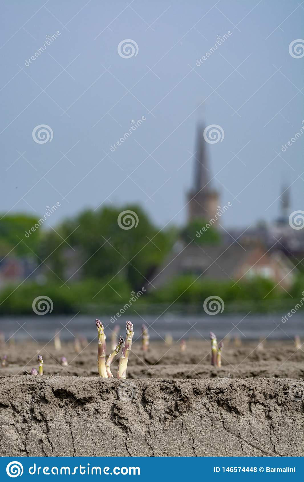 Neue Erntezeit auf Spargeldem gem?sefeld-, wei?em und Purpurrotemspargel, der auf Bauernhof aufgedeckt w?chst