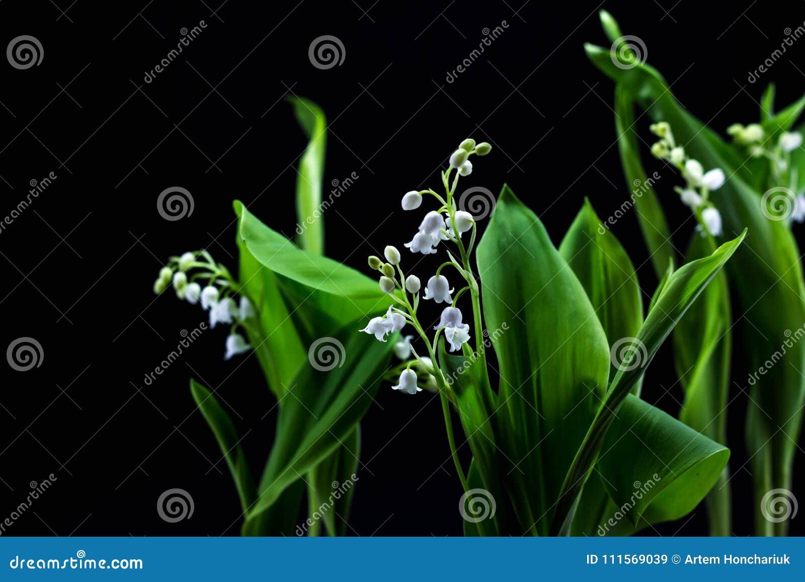 Neuer Frühling blüht Maiglöckchen auf einem schwarzen Hintergrund