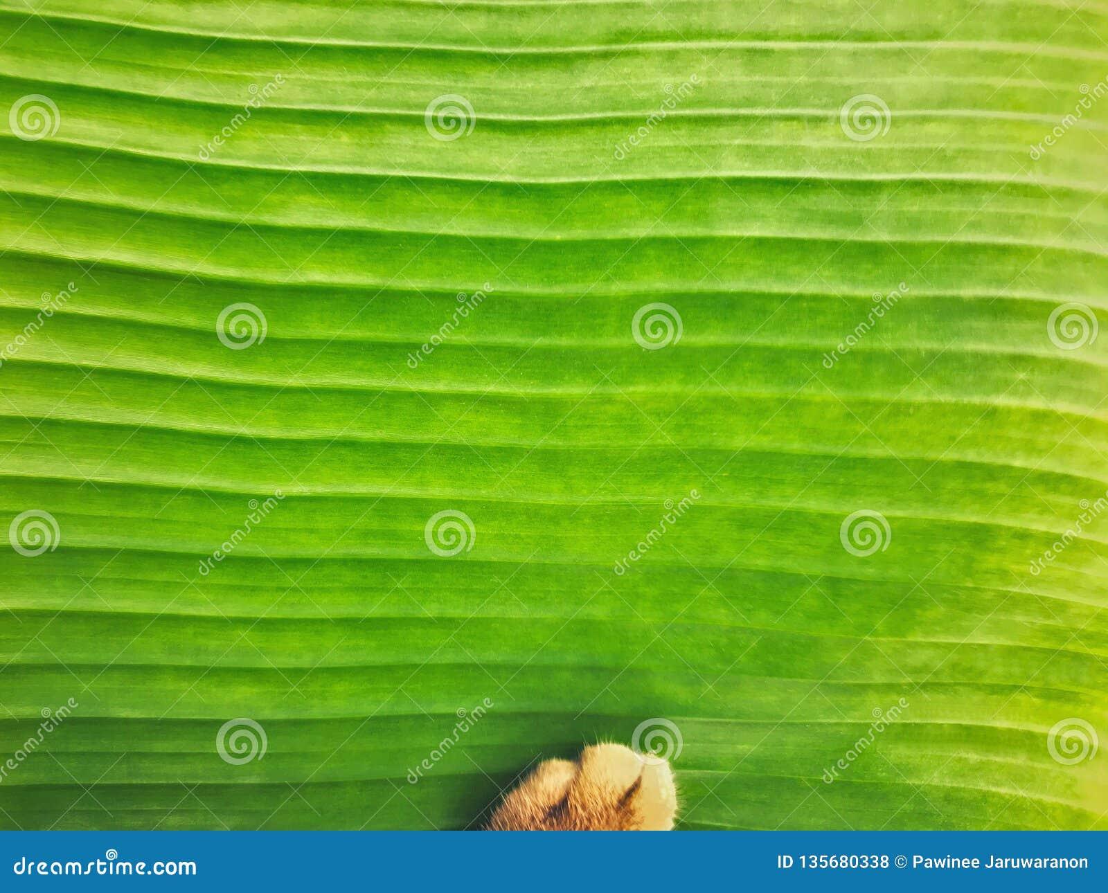 Neuer hellgrüner Bananenblatt-Beschaffenheitsabschluß herauf Hintergrund mit Katzentatzenweichzeichnung