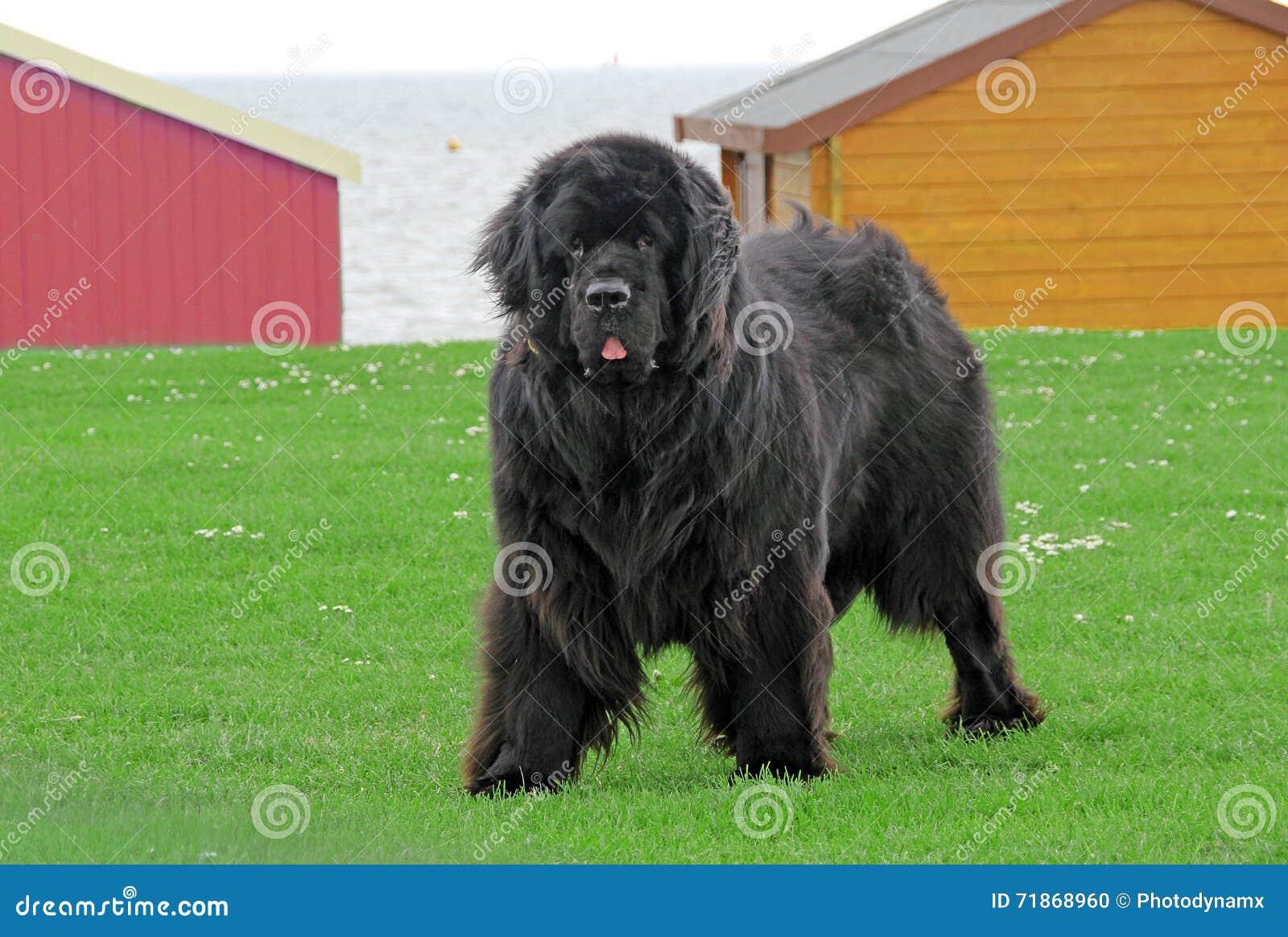 Neufundland-Hund
