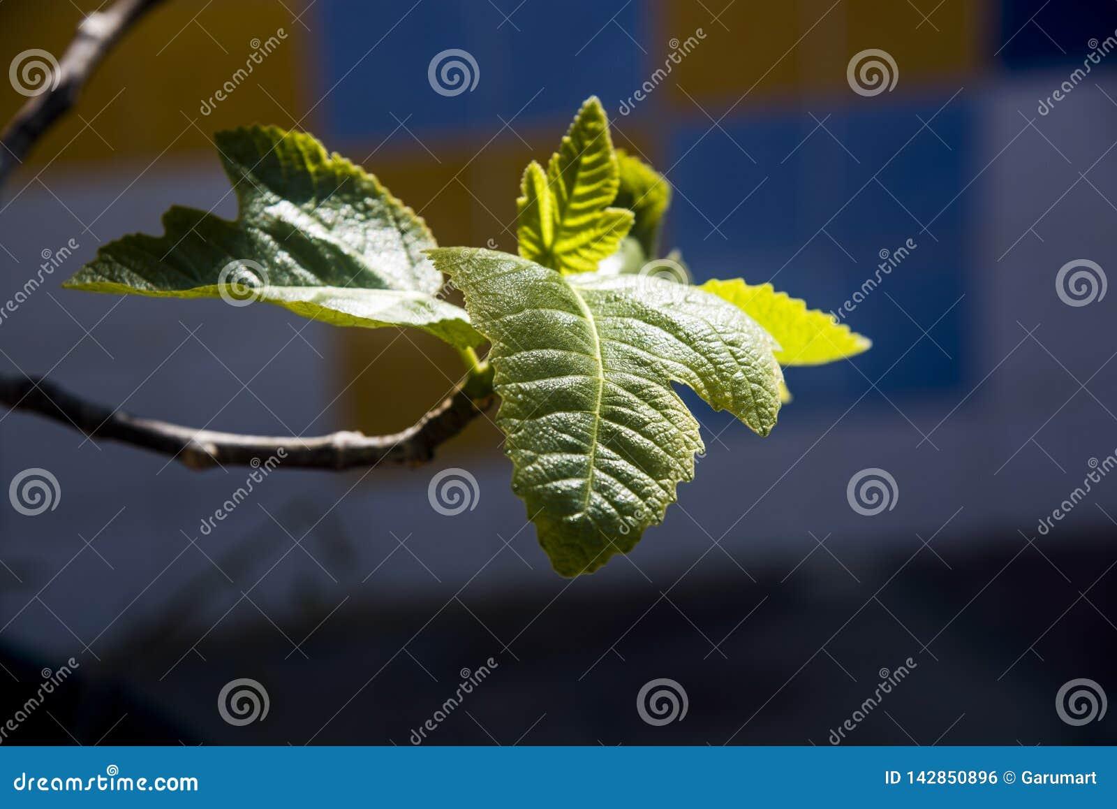 Neugeborene Feigenbaumblätter