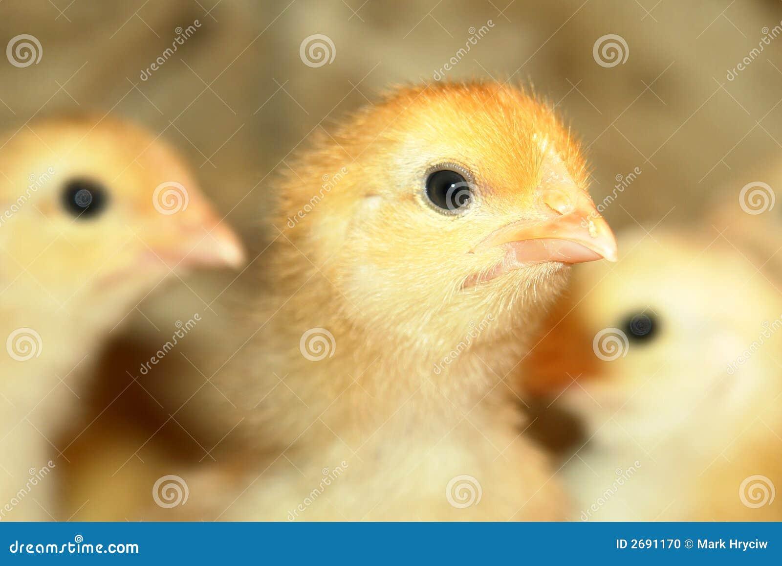 Neugeborene Hühner