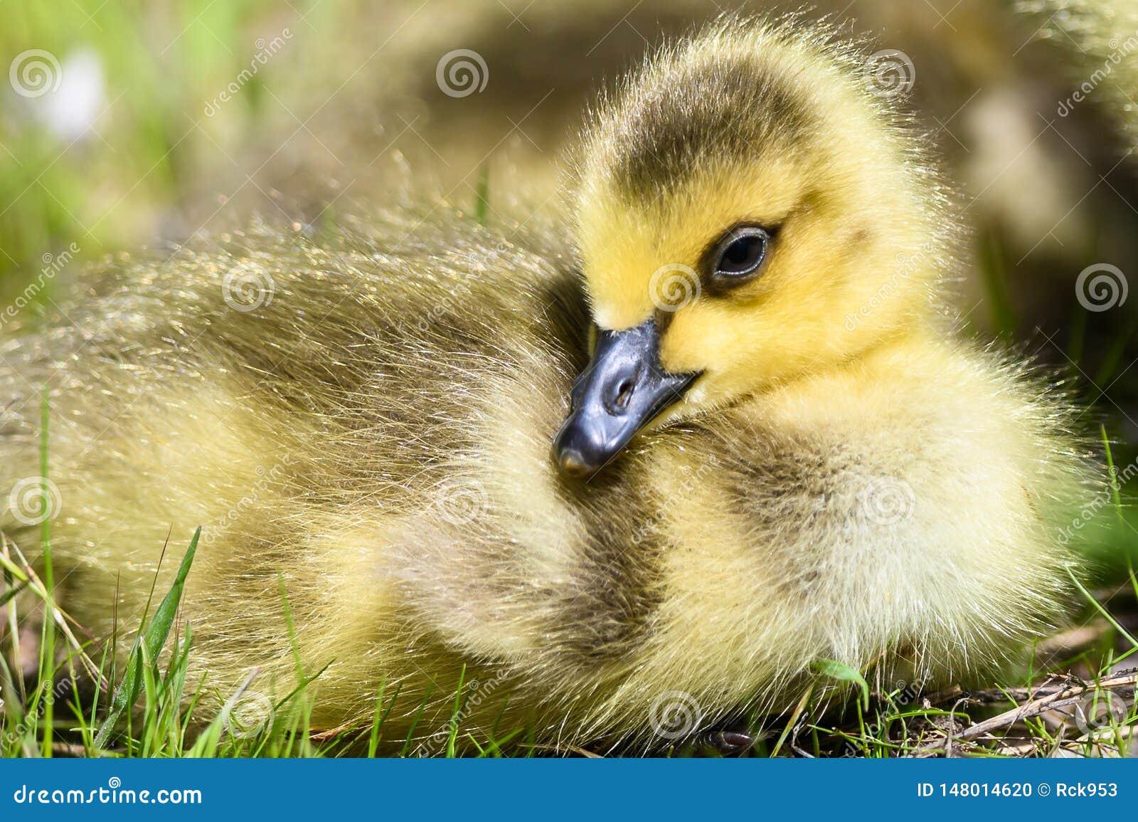 Neugeborener Gosling, der ruhig auf dem weichen gr?nen Gras stillsteht