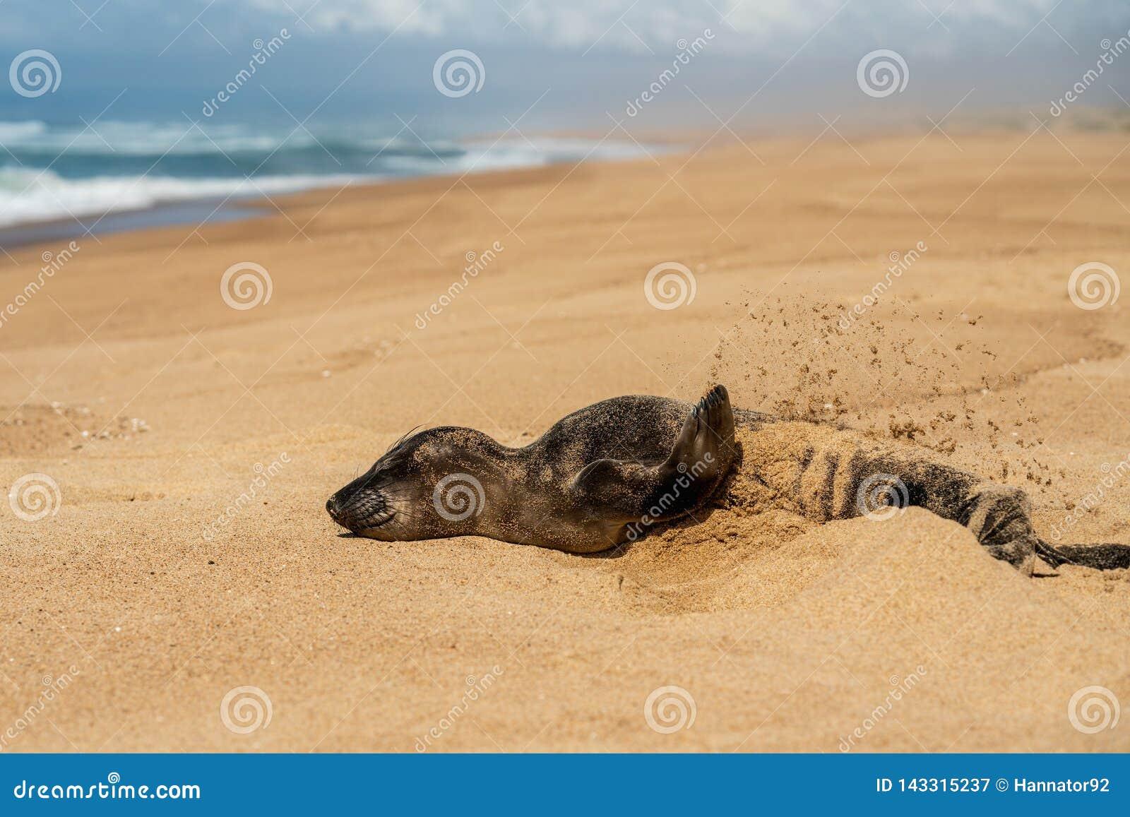 Neugeborener werfender Sand des Seehundbabys auf, leerer Sandstrand, Kalifornien