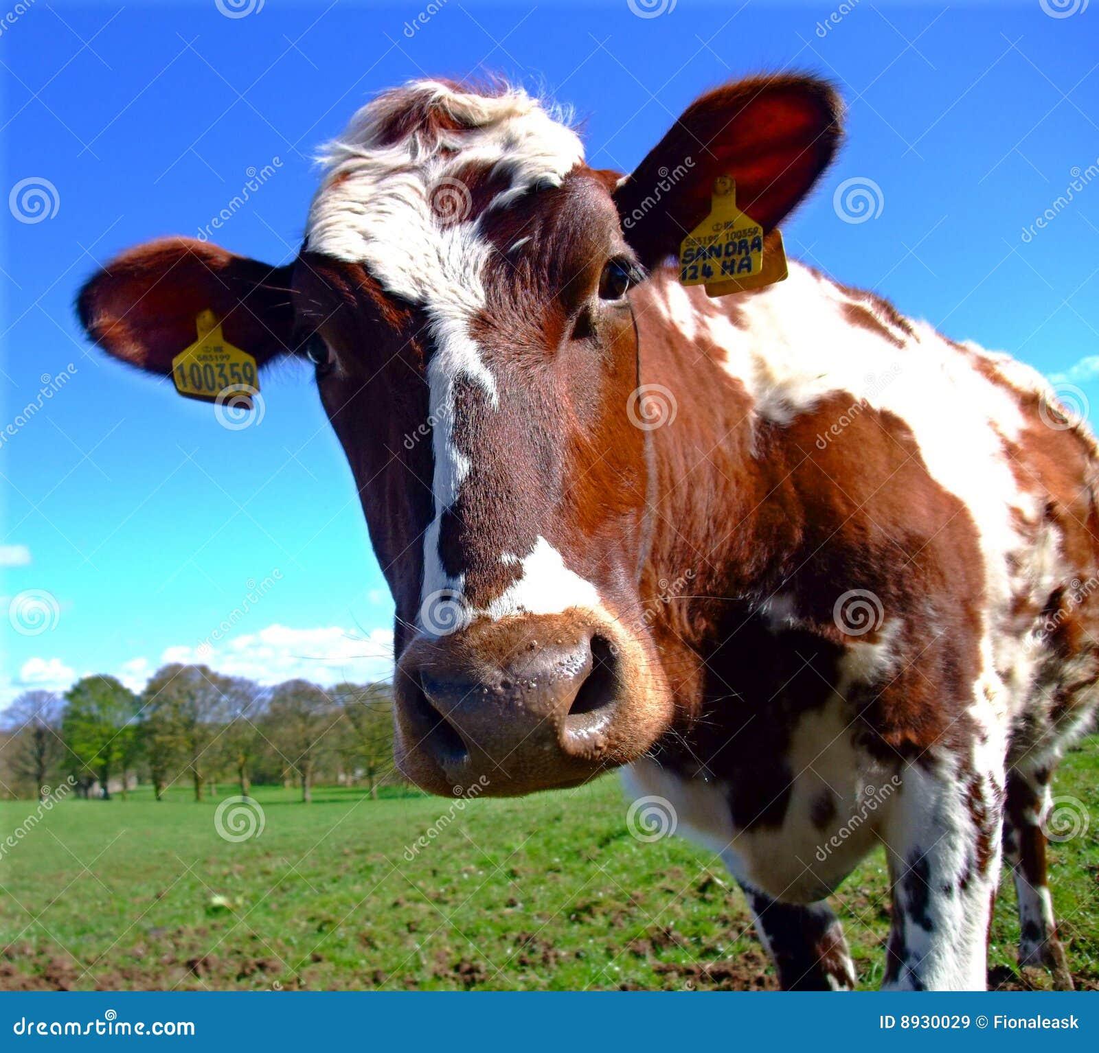 Neugierige Rind-Kuh