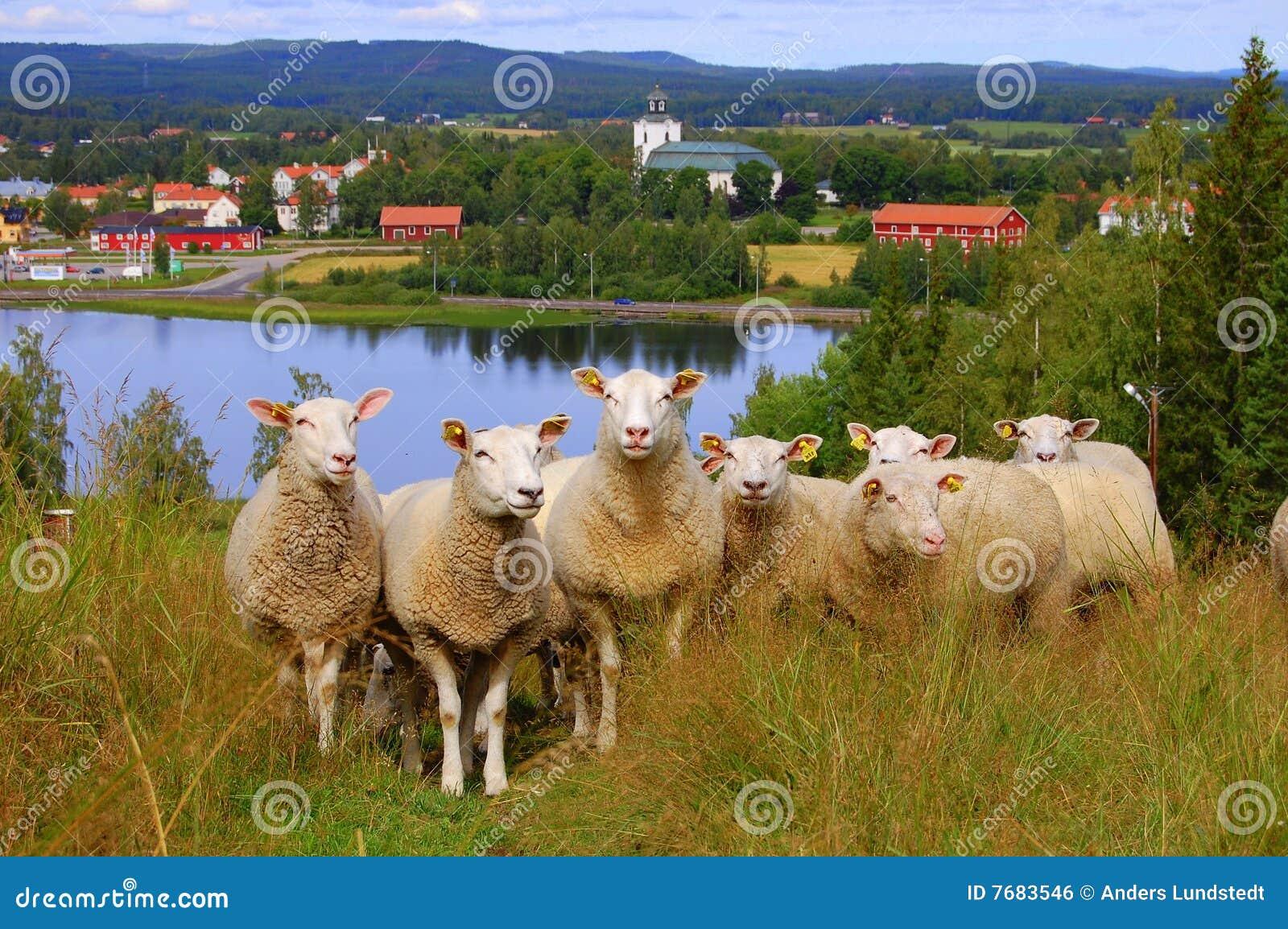 Neugierige sheeps