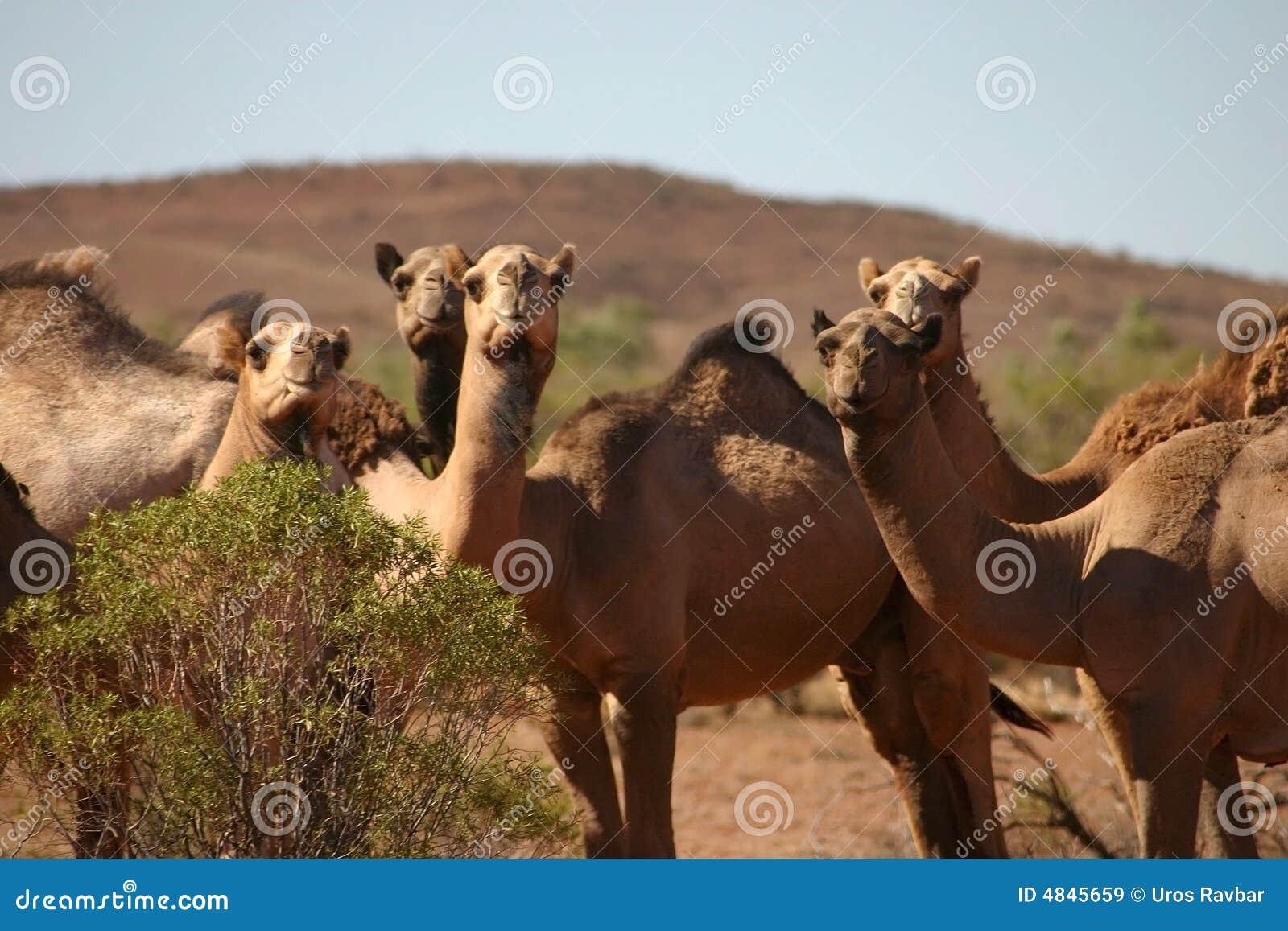 Neugierige wilde Kamele