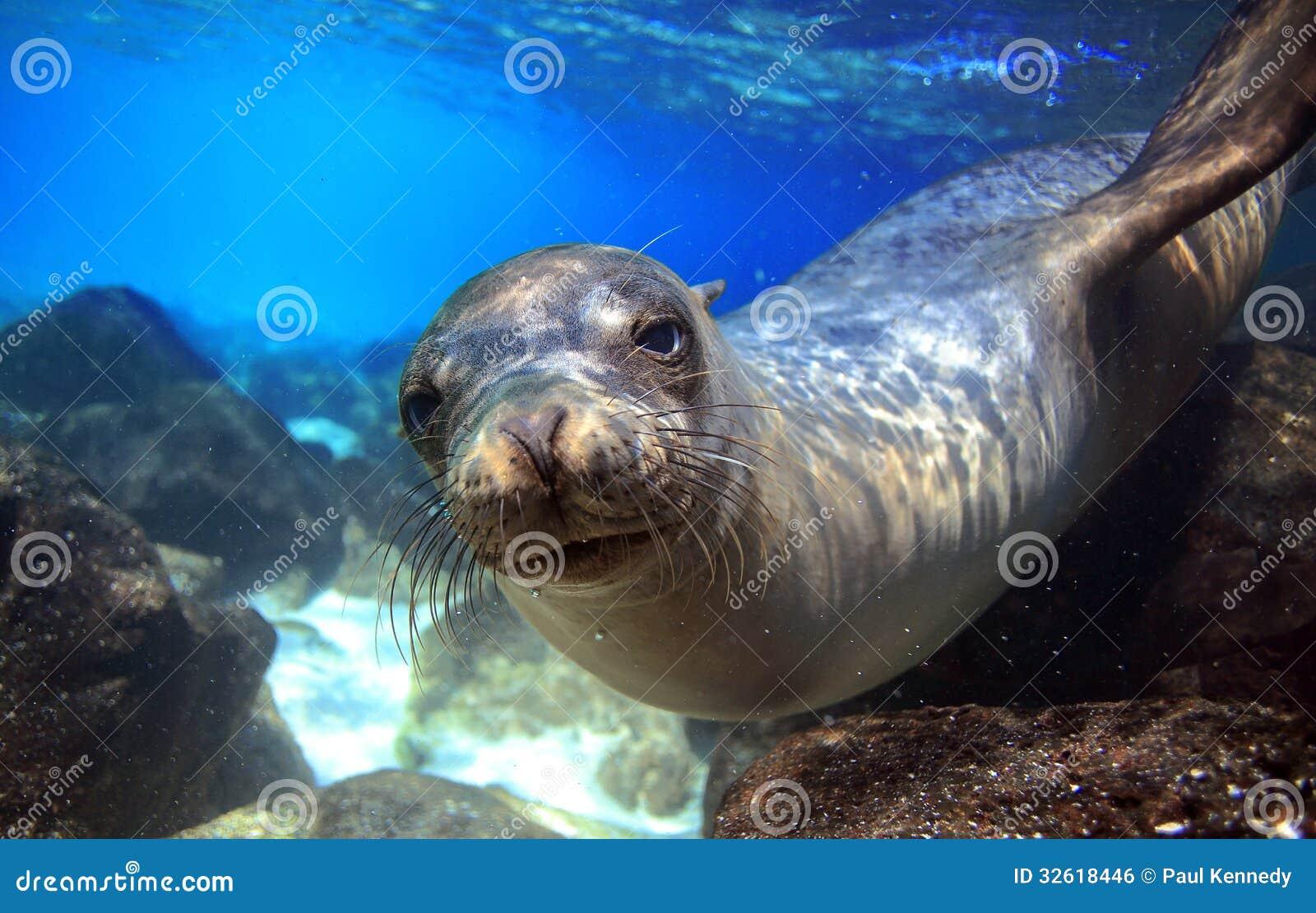 neugieriger seelöwe unterwasser stockfoto  bild von
