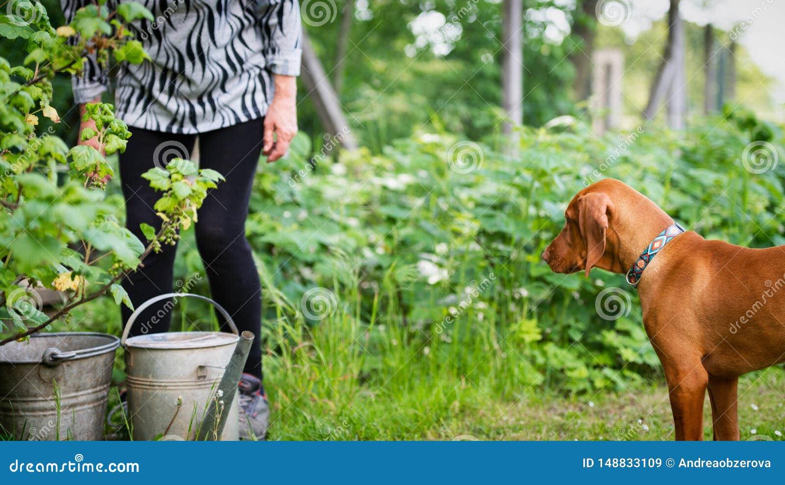 Neugieriger vizsla Welpe mit ?lterer Frau im Garten Hund, der seine Eigent?merfirma h?lt, w?hrend sie im Garten arbeitet
