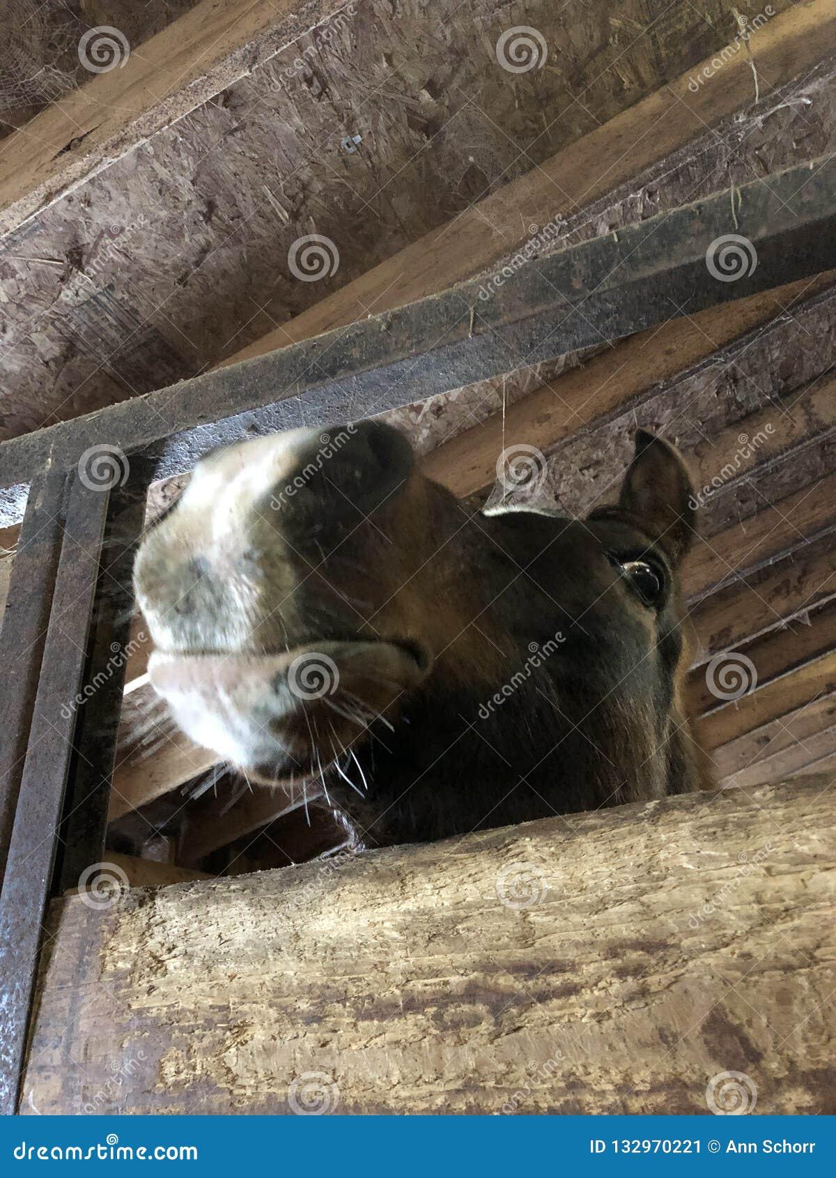 Neugieriges arabisches Pferd