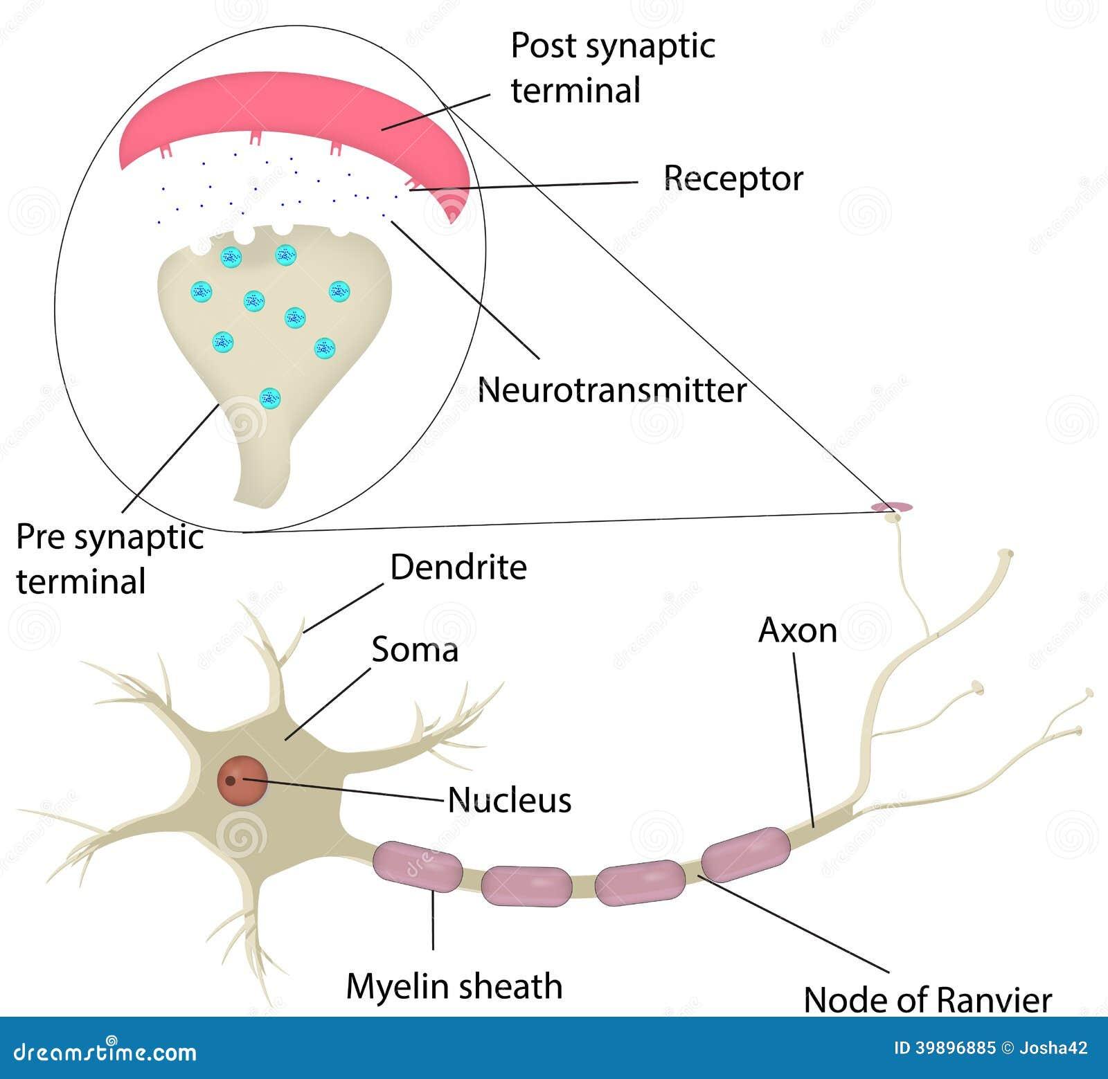 Diagrama Etiquetado Do Neurônio Ilustração do Vetor - Ilustração de ...