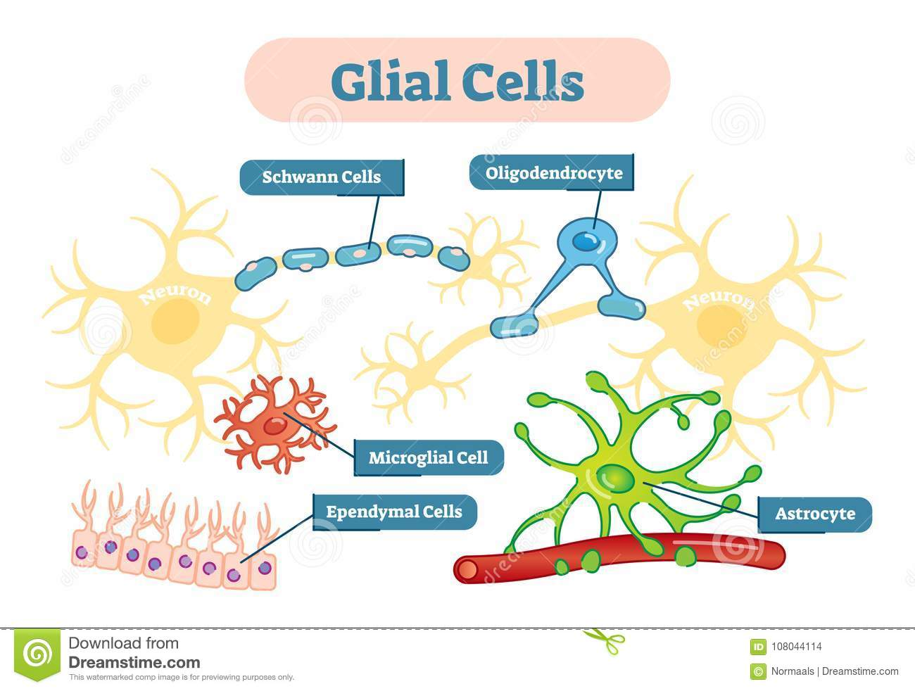 Nervous System Glial Cells Vector Illustration Schematic Diagram ...