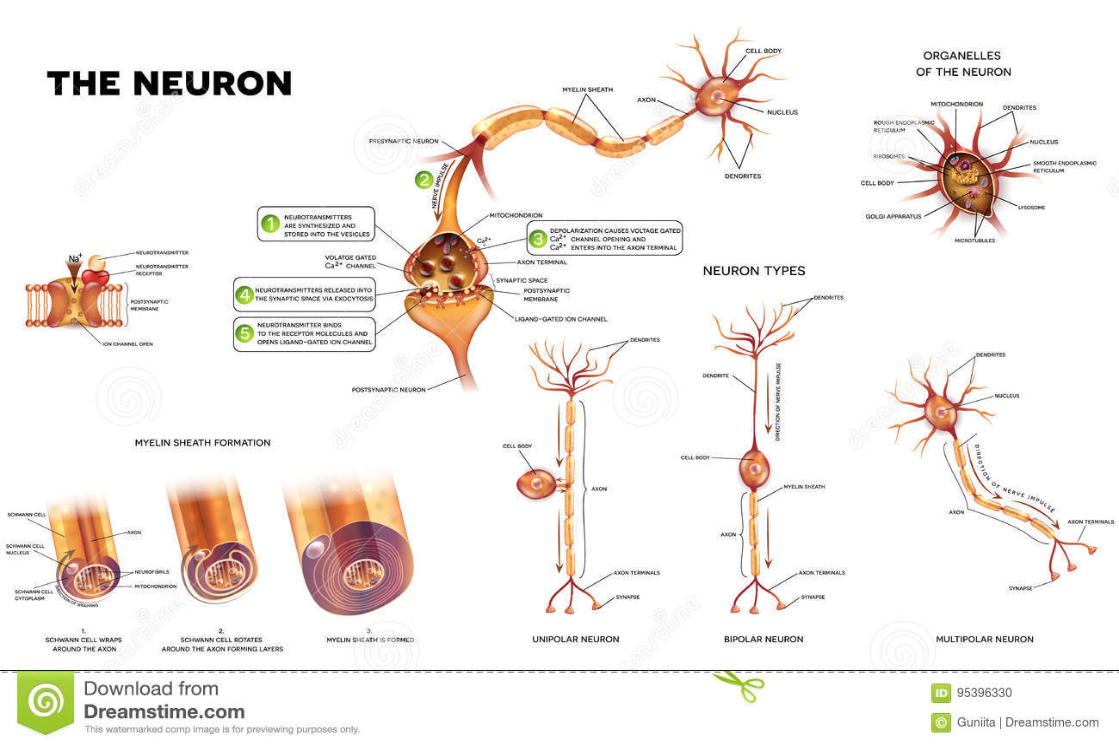 The Neuron Anatomy Poster Stock Vector Illustration Of Myelination