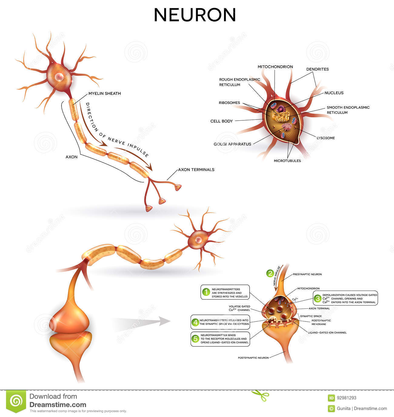 Neuron Detailed Anatomy Stock Vector Illustration Of Cord 92981293