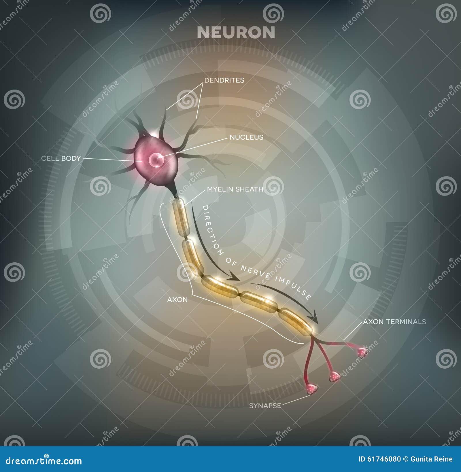 Neuron Stock Vector