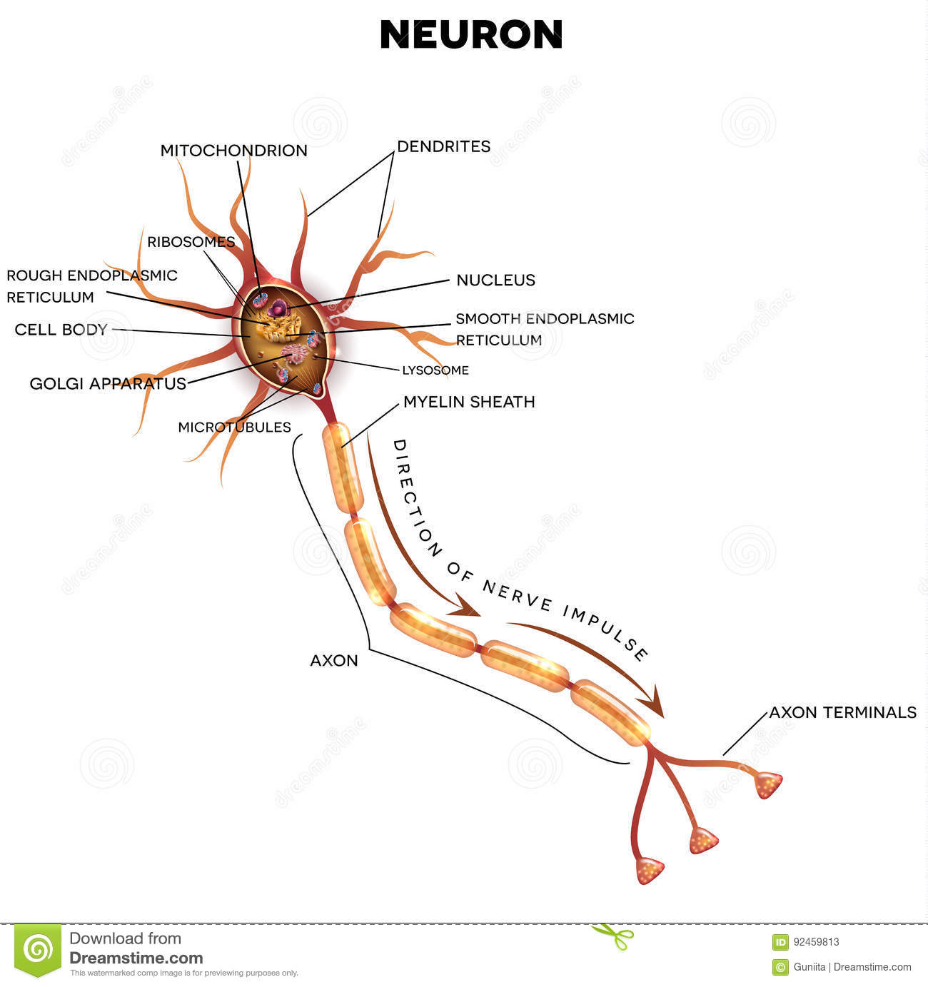 neuron, nerve cell anatomy stock vector. illustration of diagram