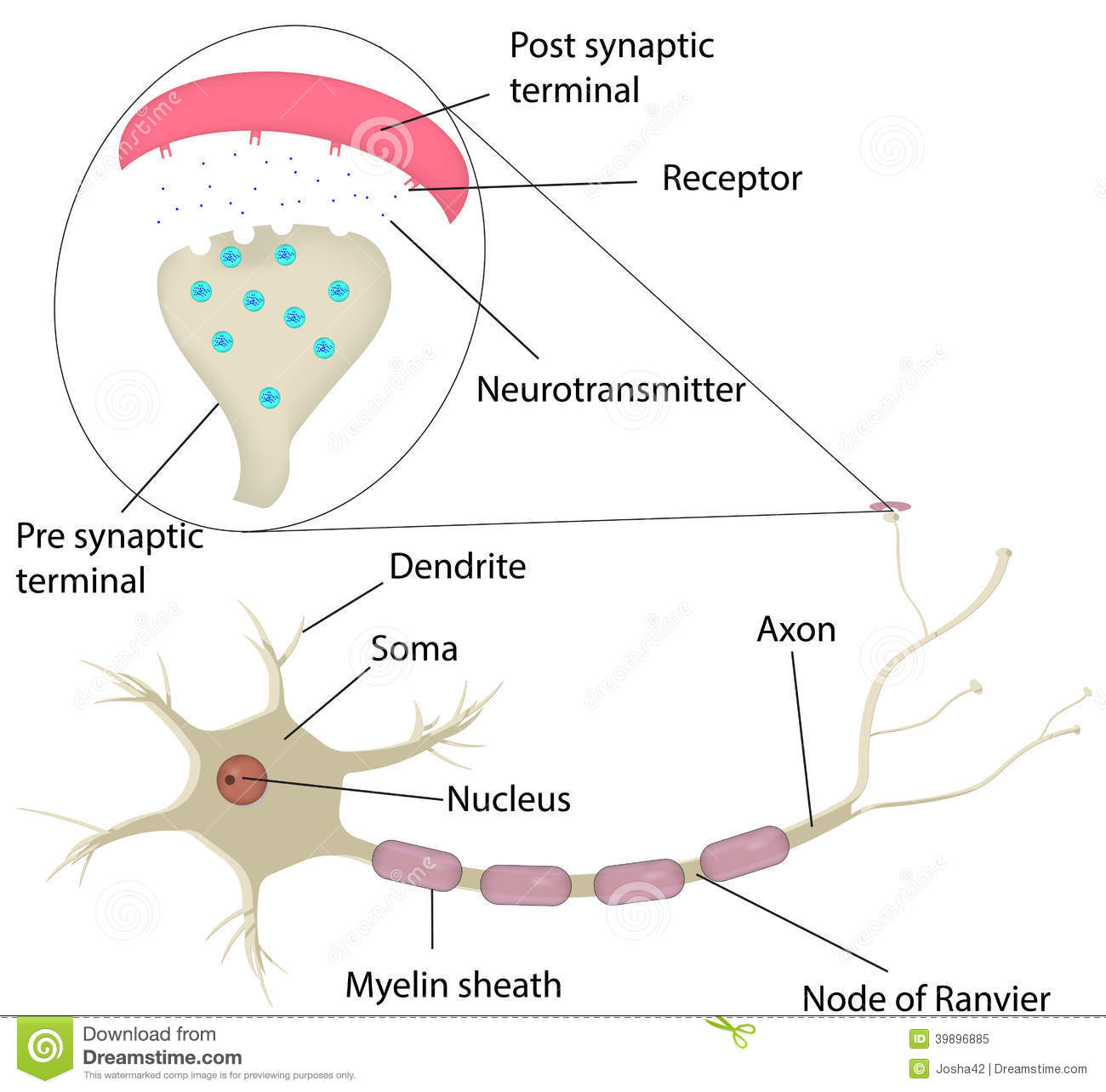neuron and synapse labeled diagram stock vector - illustration of