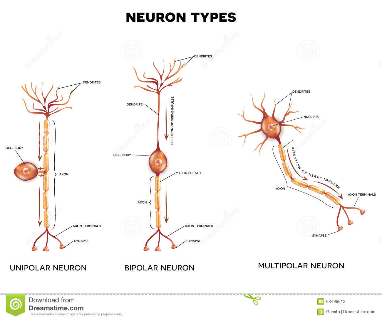 a research on the nerve cell or neuron A neuron, also known as a neurone (british spelling) and nerve cell, is an  electrically excitable  being larger than but similar in nature to human neurons,  squid cells were easier to study by inserting electrodes into the giant squid  axons,.
