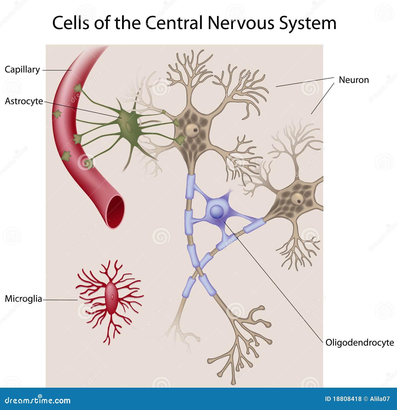 Neurones et cellules glial du CNS