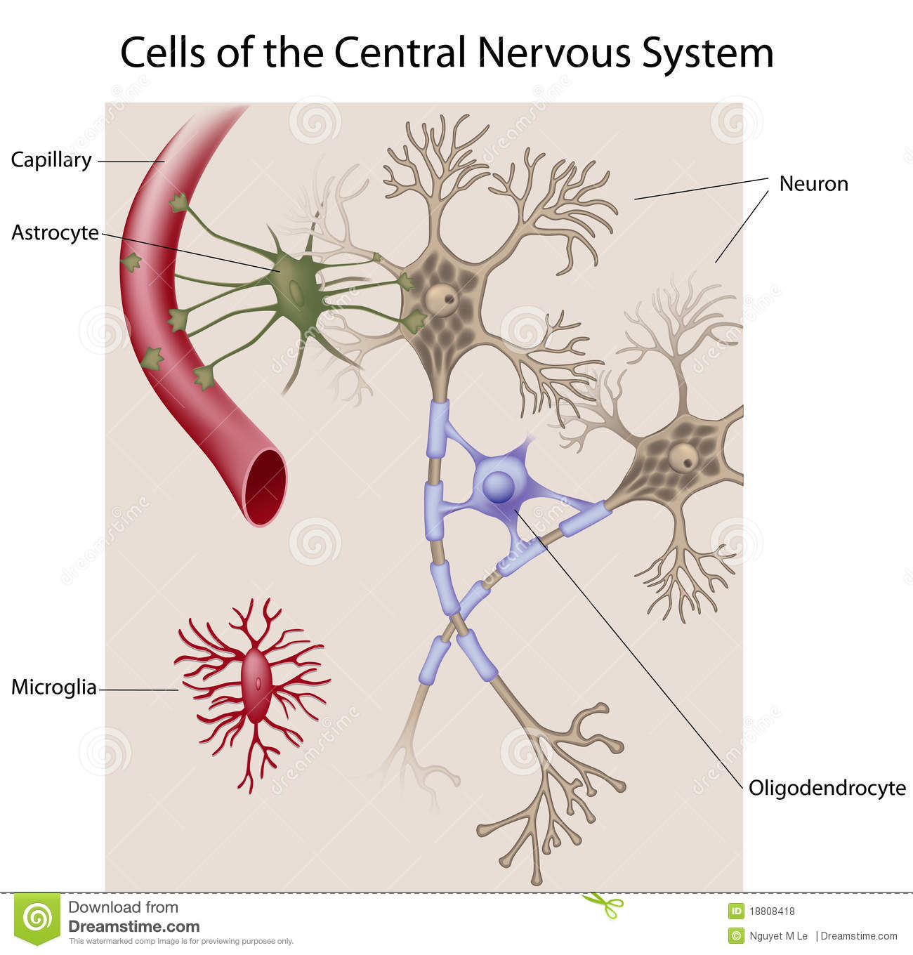 Glial Cells In The Brain Stock Vector - Image: 47546395