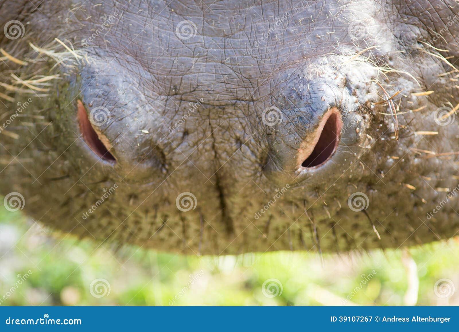 Neus van een hippo