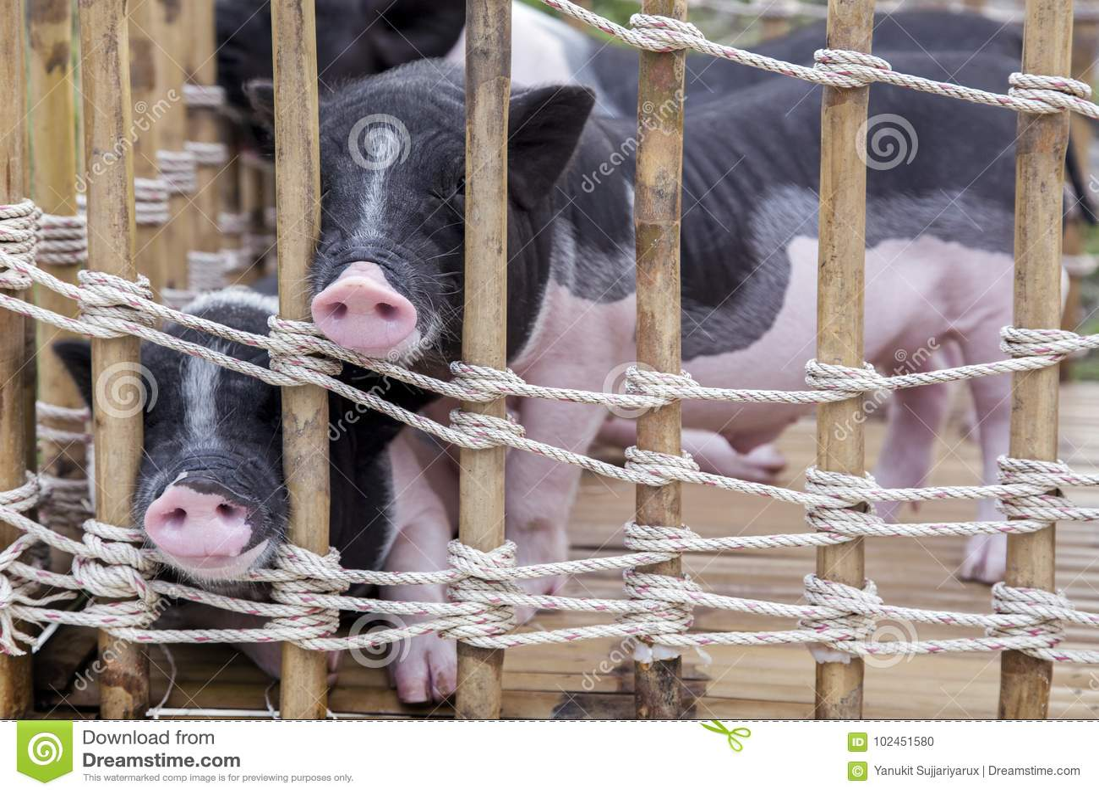 Neus van zwart-wit babyvarken