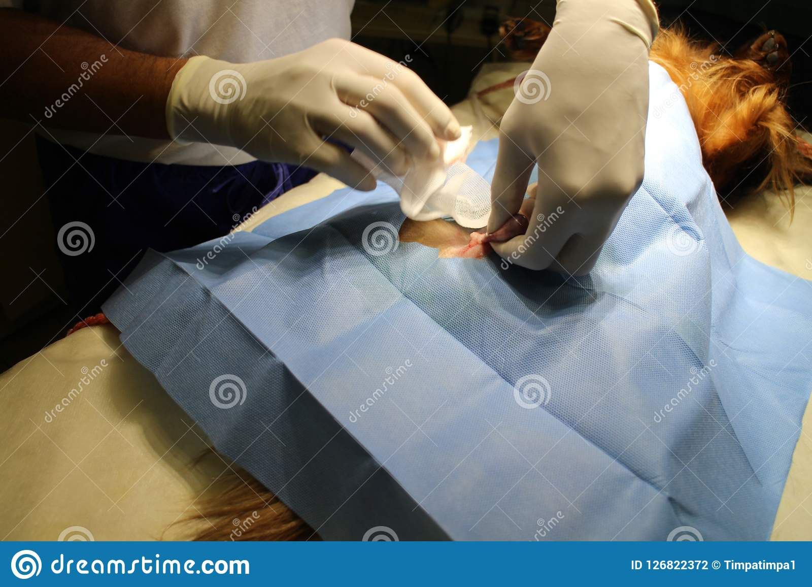 Neutering Castration By Dachshund Stock Photo Image Of Tied