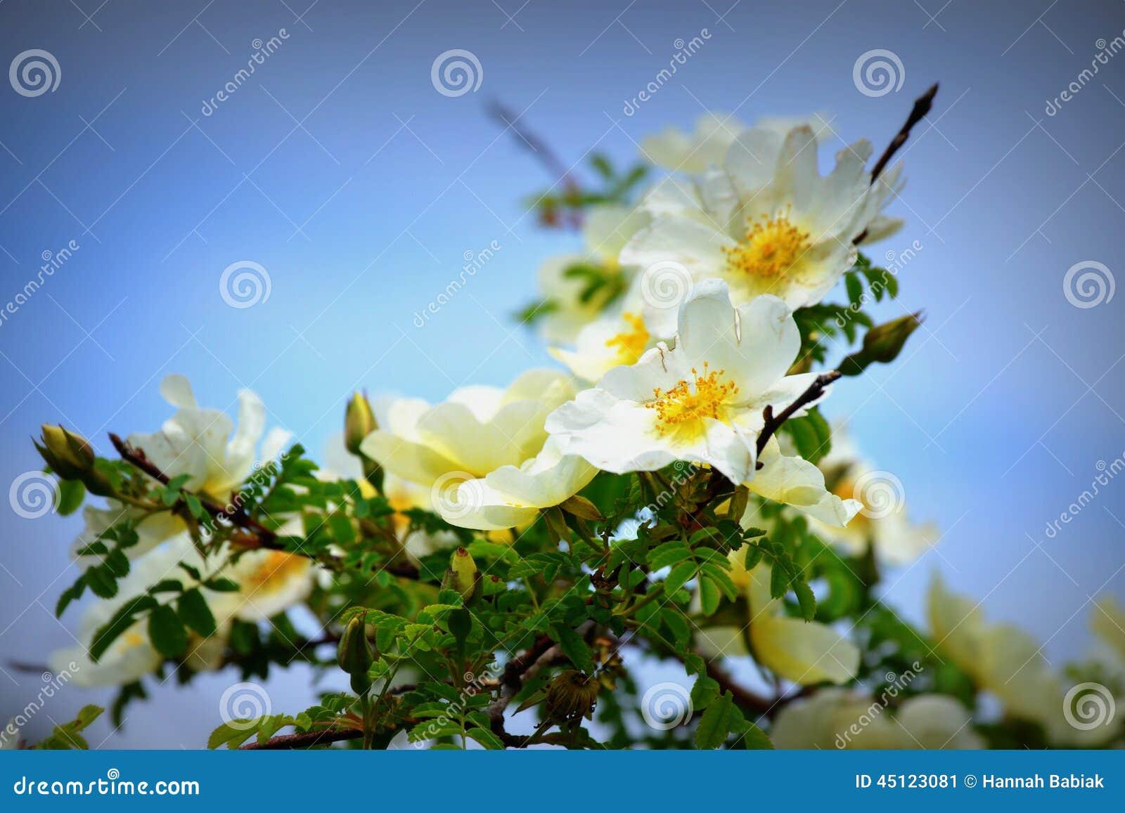 Nevada Rose White met Geel