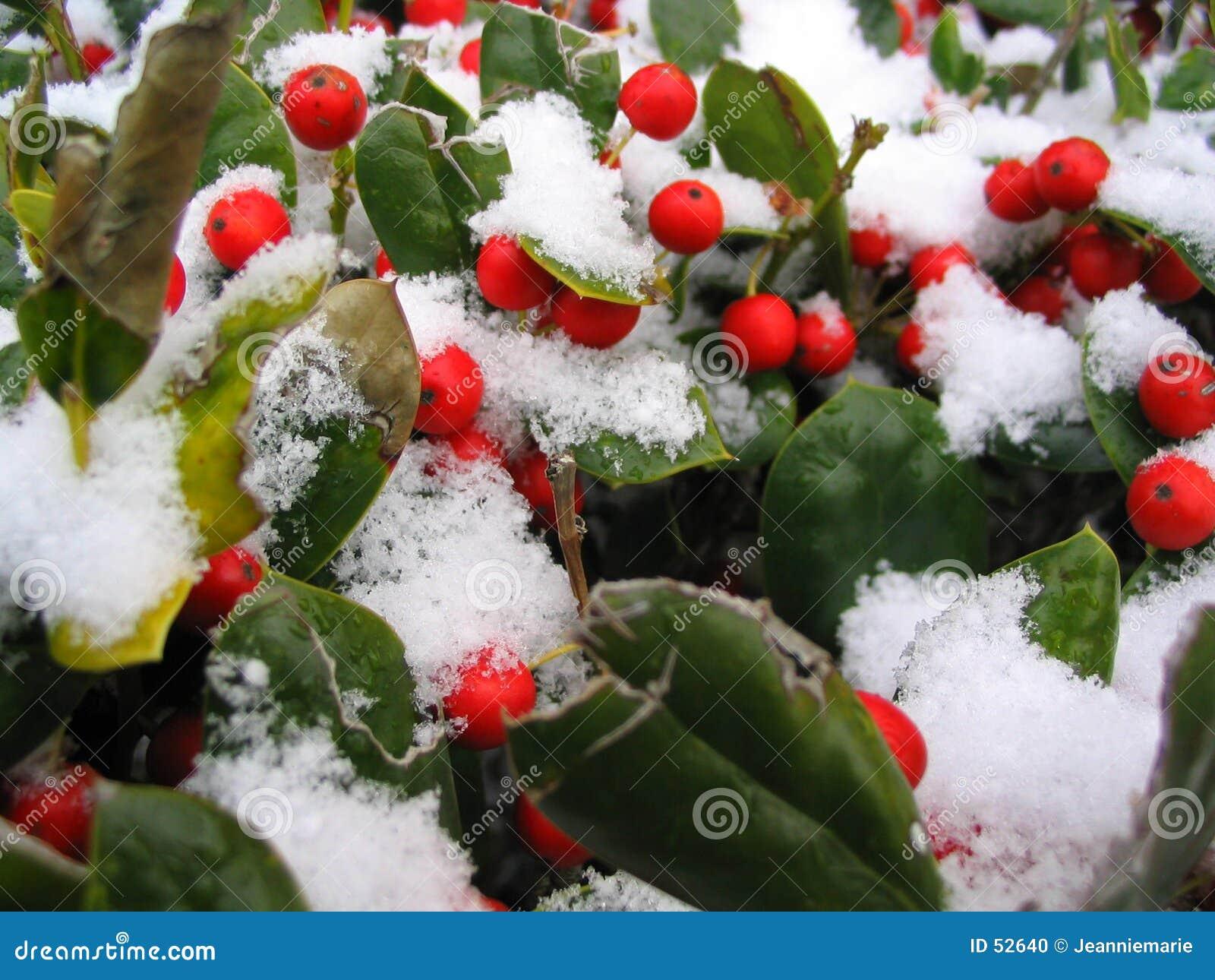 A neve cobriu bagas vermelhas
