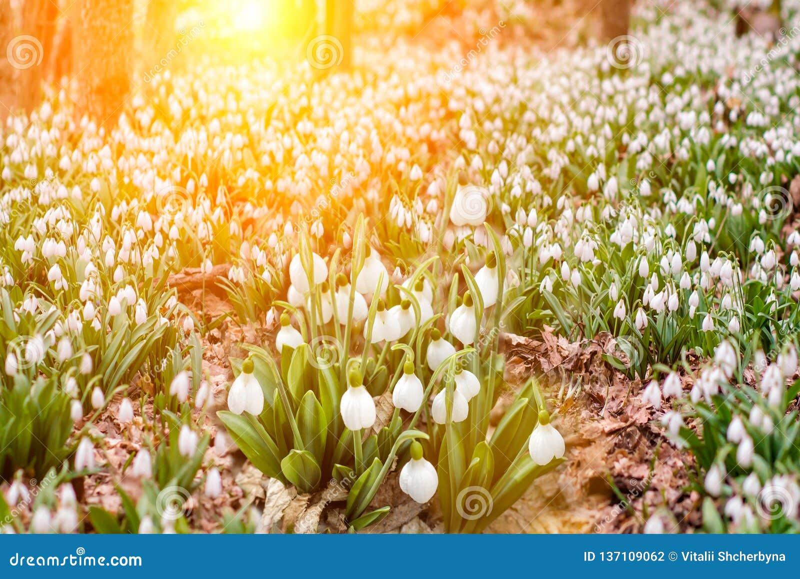 A neve derrete com a chegada do calor nas florestas lá é primeiramente prímulas que delicadas das flores os snowdrops crescem per