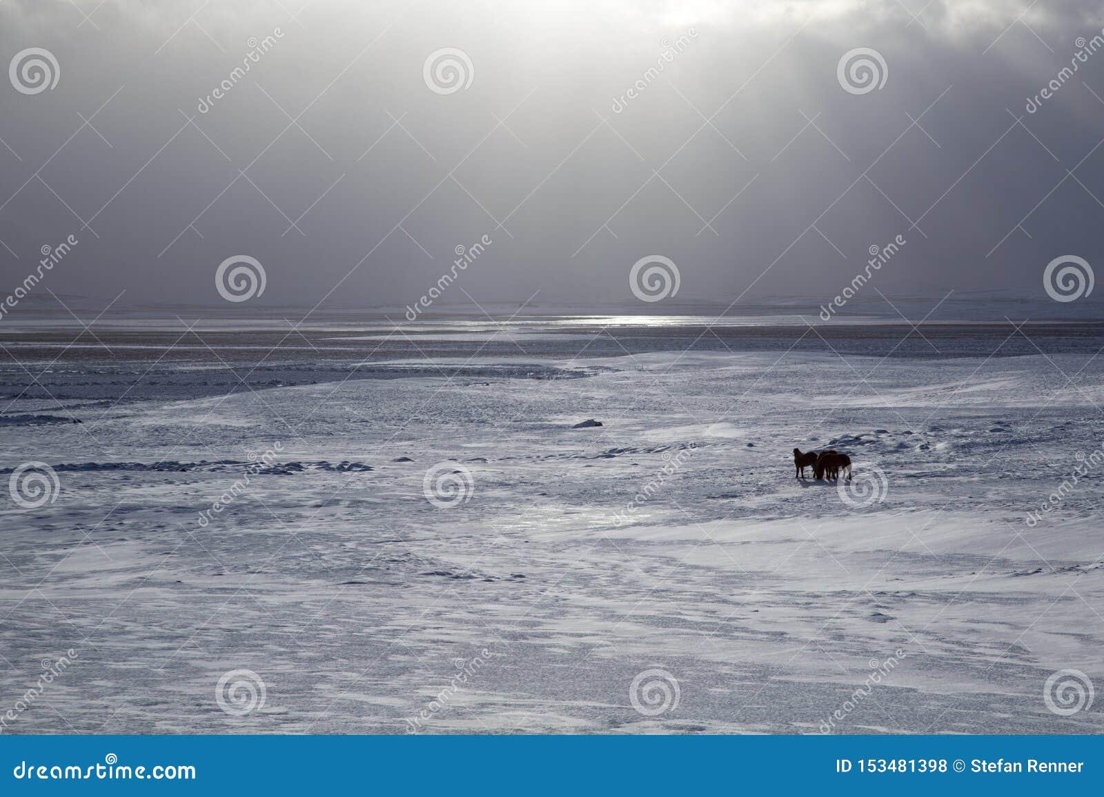 Neve islandese del cavallo