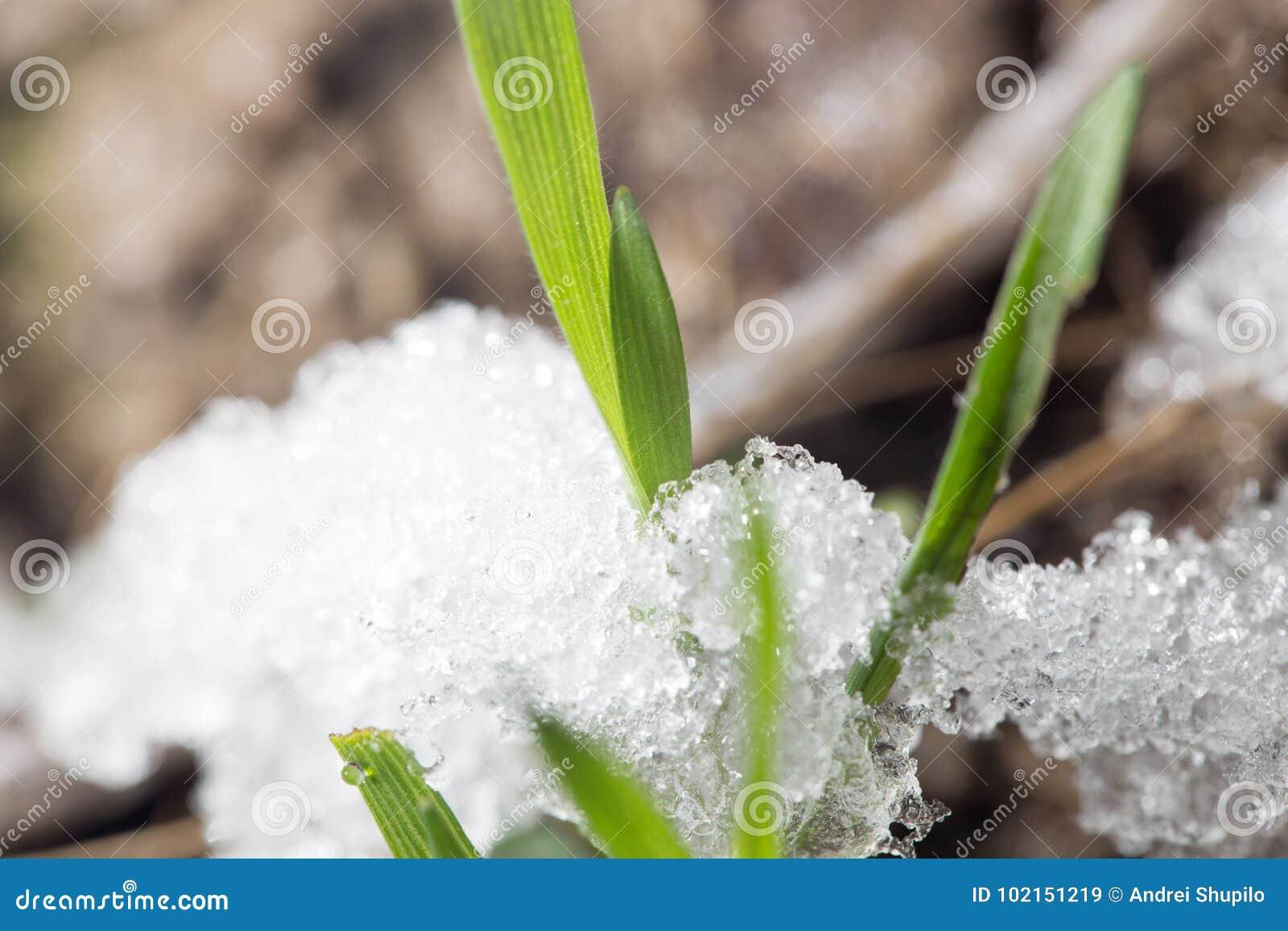 Neve na grama verde na primavera Close-up