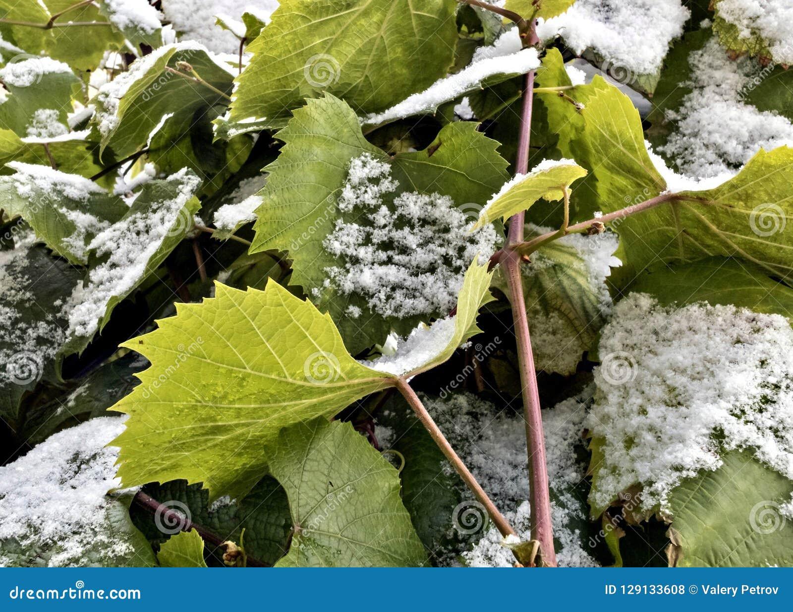 Neve sulle foglie verdi dell uva