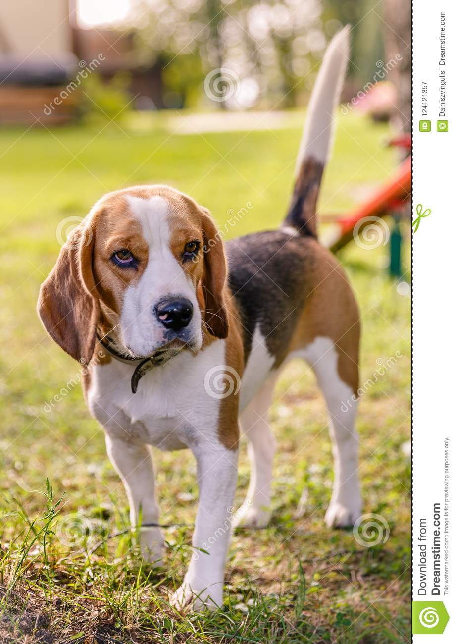 New Beagle Puppy Brown With White Stock Image Image Of House Summer 124121357